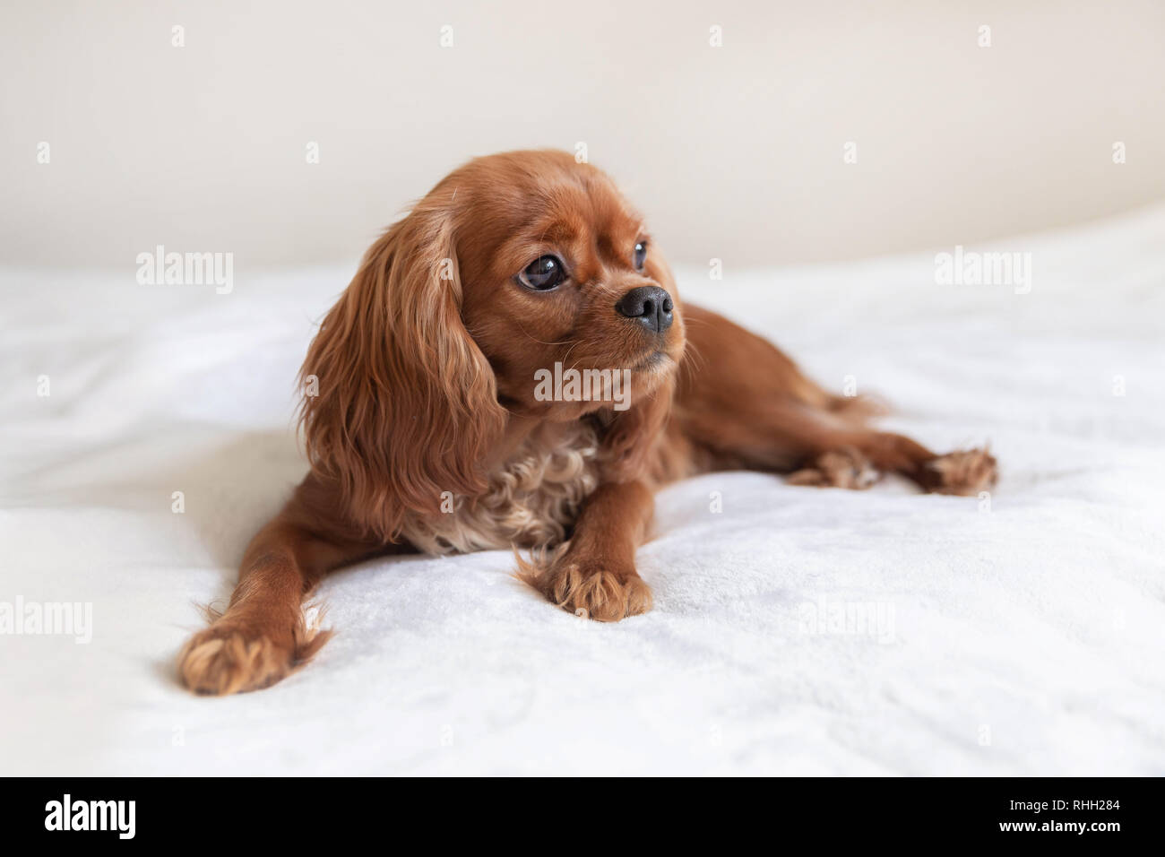 Cute puppy resting on on the white blanket Stock Photo