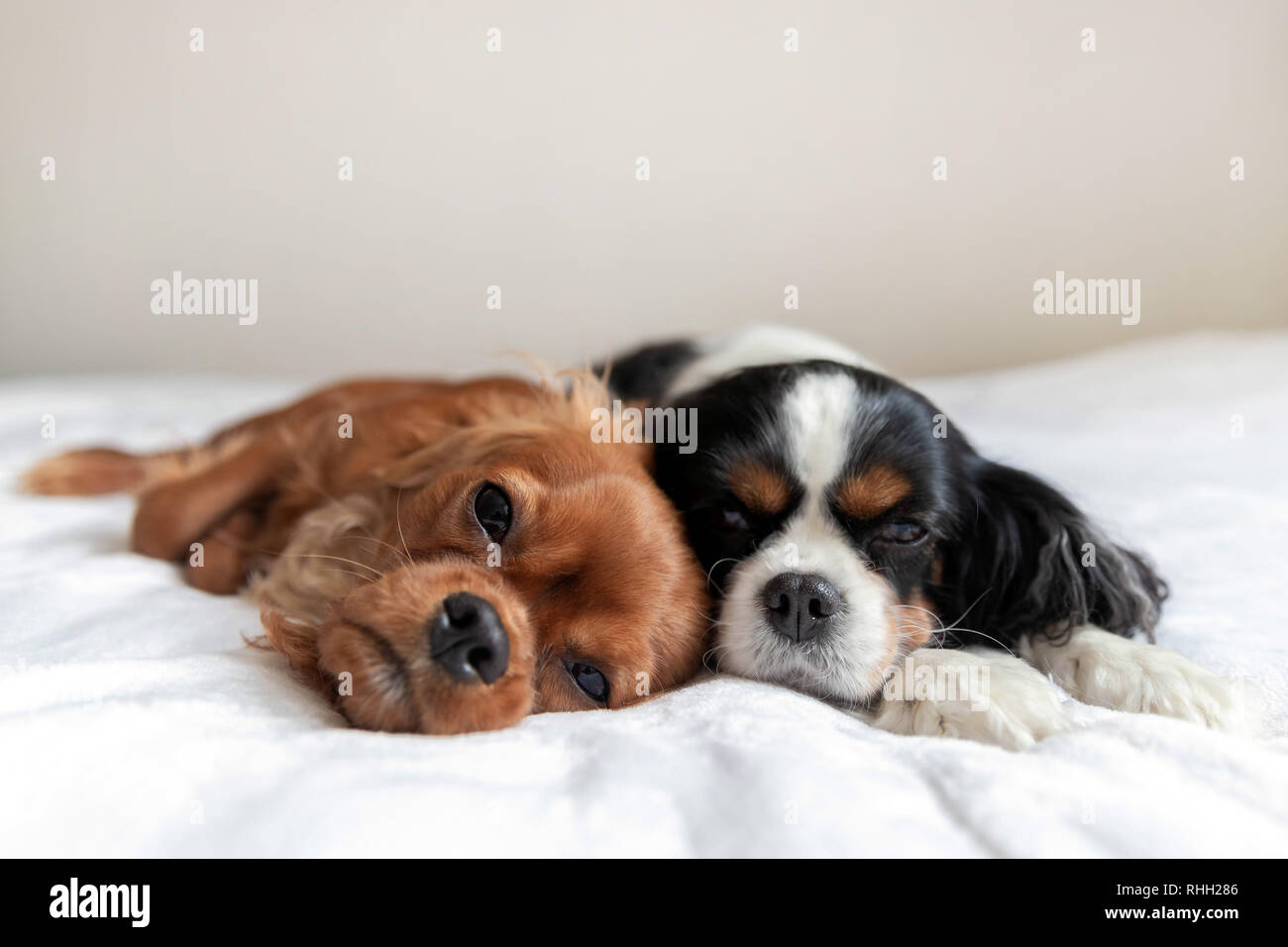 Two dogs sleeping togehter on the white blanket Stock Photo