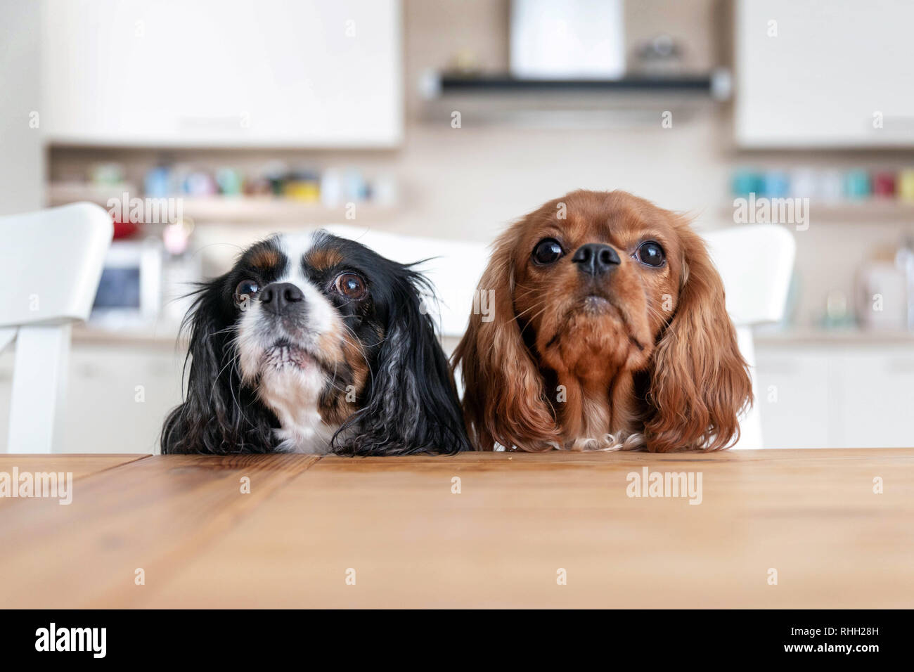 Two dogs sitting behind the kitchen table waiting for food Stock Photo