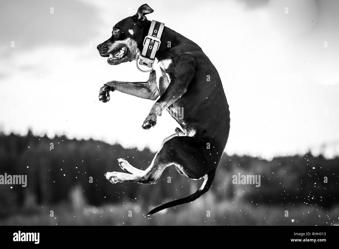 Black white photography of a tricolor male American Pit Bull Terrier dog jumping in the snow - Stock Image