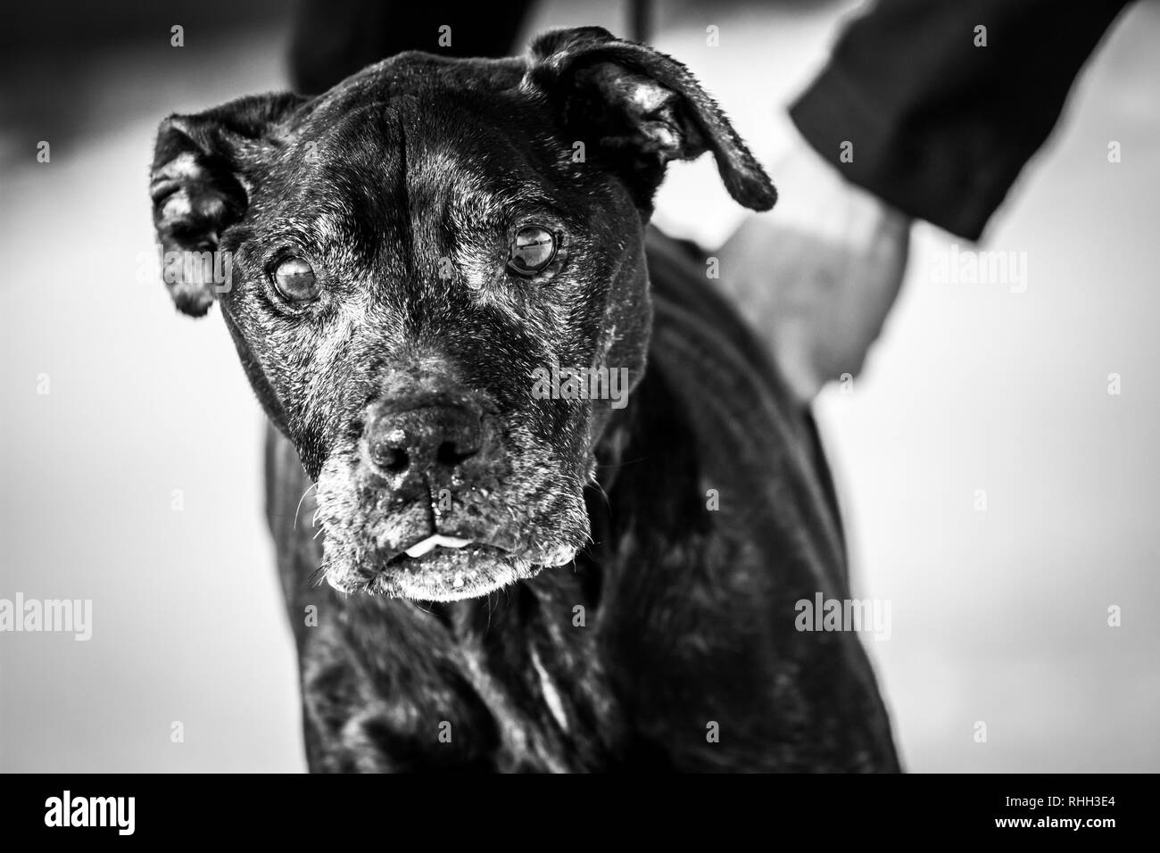 Black white portrait of an old female American Pit Bull Terrier (14 years) in the snow - Stock Image