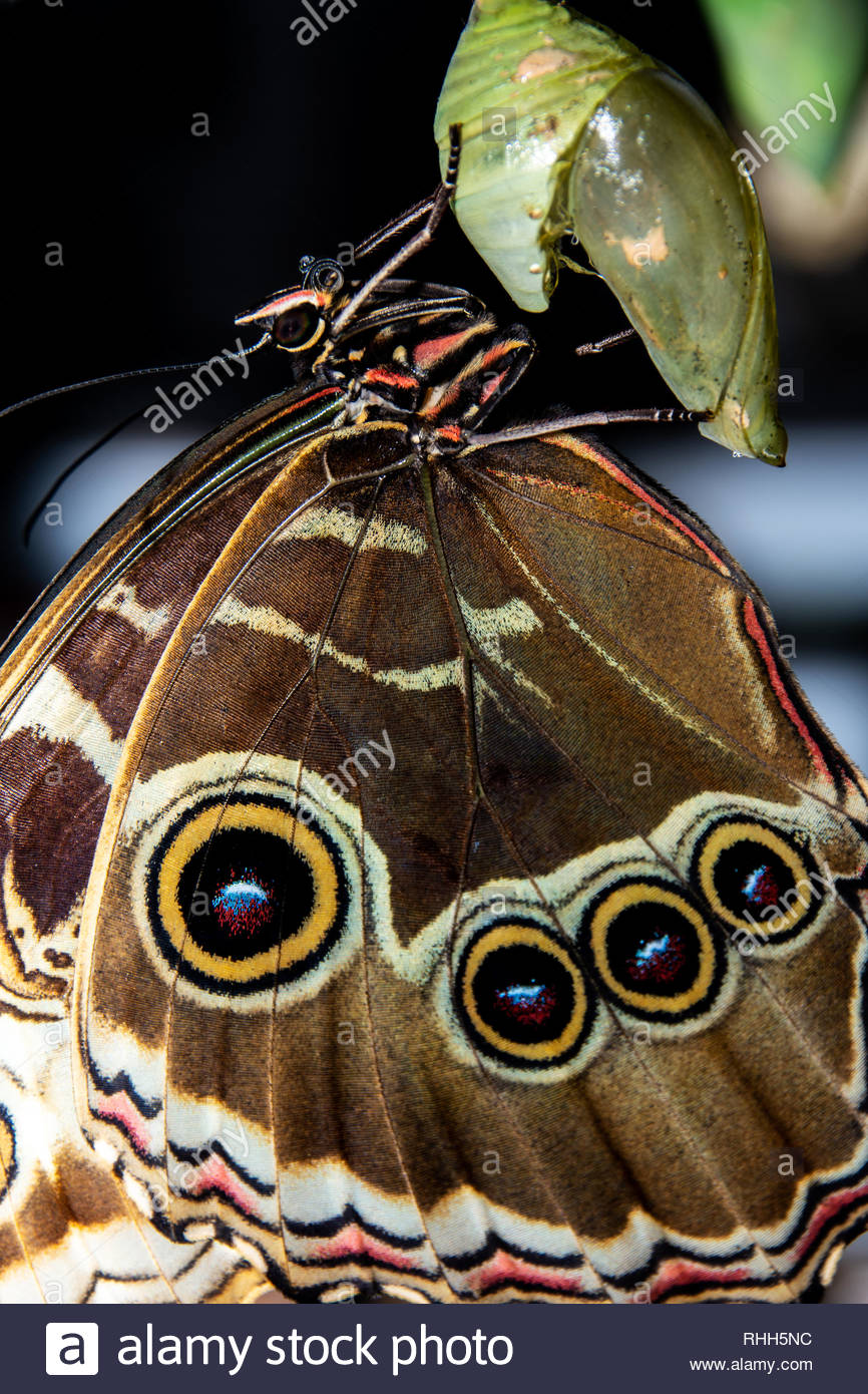 8d7f03e34 extreme close up macro Blue Morpho butterfly emerging from chrysalis  Cambridge butterfly conservatory Cambridge Ontario Canada