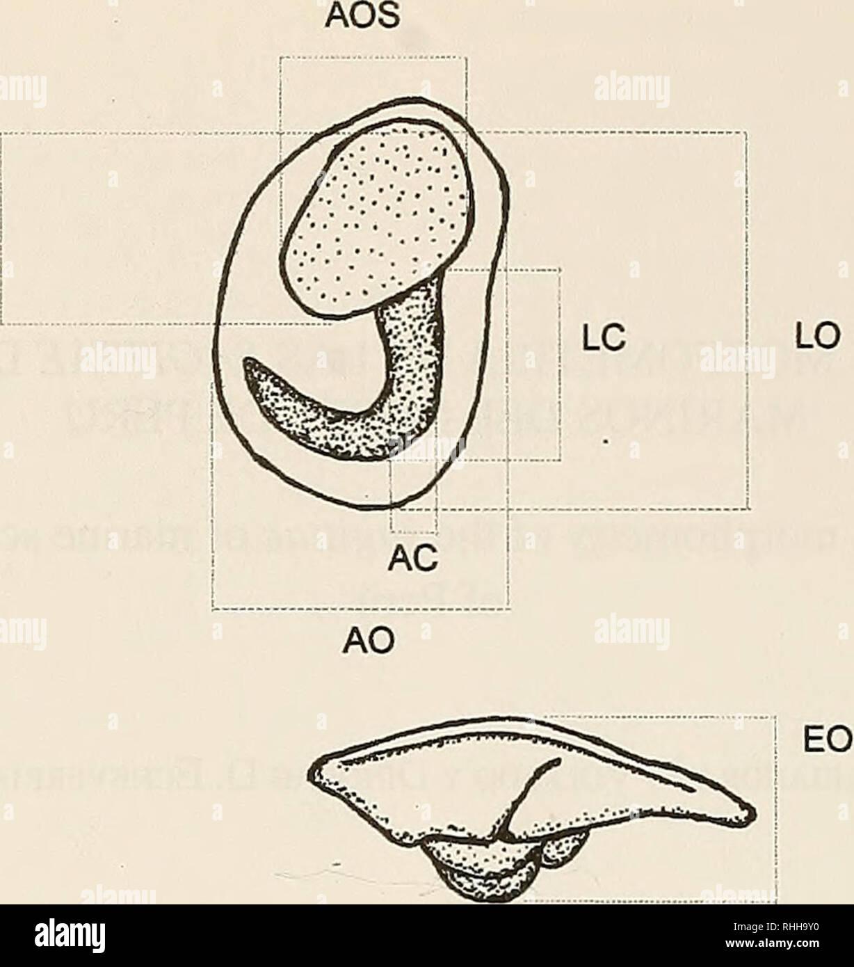 . Boletin de la Sociedad de Biología de Concepción. Sociedad de Biología de Concepción; Biology; Biology. Bol. Soc. Biol. Concepción, Chile. Tomo 72, 2001 LOS. 1 Figura 1. Variables morfométricas registrados en la cara interna de la Sagina derecha. AC: ancho máximo de la cauda, AO: ancho máximo del otolito. AOS: ancho máximo del ostiiim. EO: espesor máximo del otolito, LC: largo máximo de la cauda, LO: largo máximo del otolito. LOS: largo máximo del ostium. determinado stocks pesquero (Campana y Casselman, 1993) y la presencia de variaciones en el ambiente en que vive el pez. El objetivo de es Stock Photo