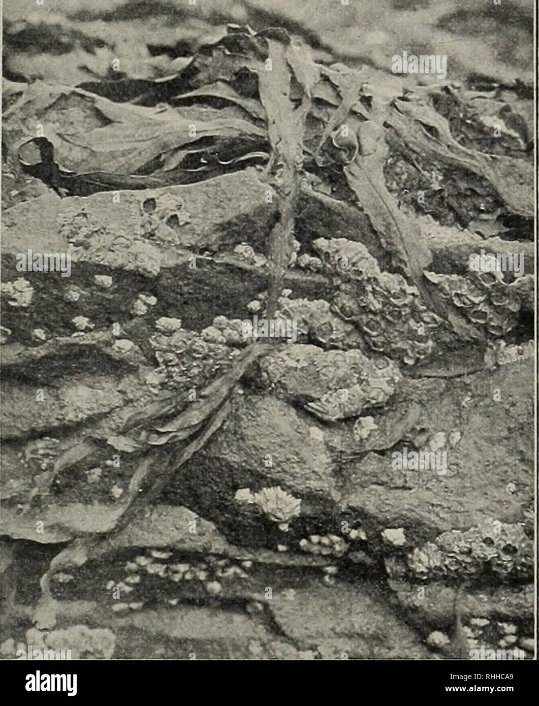 . Blätter für Aquarien- und Terrarien-Kunde. Dr. E. Bade: Süßwasser-Algen. geben sich mit biegsamen Umhüllungen, Röhren bewegung dienen. Sobald sie sich festgesetzt oder dergl. Die Krebse entwickeln starke Kalk- massen in ihrem Panzer, so daß sie es wohl ver- tragen können, gelegentlich von den Wellen hin- und hergerollt zu werden. Ebenso zeichnen sich die Muscheln und Schnecken durch besonders kräftige dicke Schalen aus. Andere Tiere haben haben, sind solche Schwimmorgane für sie wertlos, die Beine verkümmern aber bei ihnen nicht, wie es sonst wohl iu ähnlichen Fällen im Tierreiche geschieht, - Stock Image