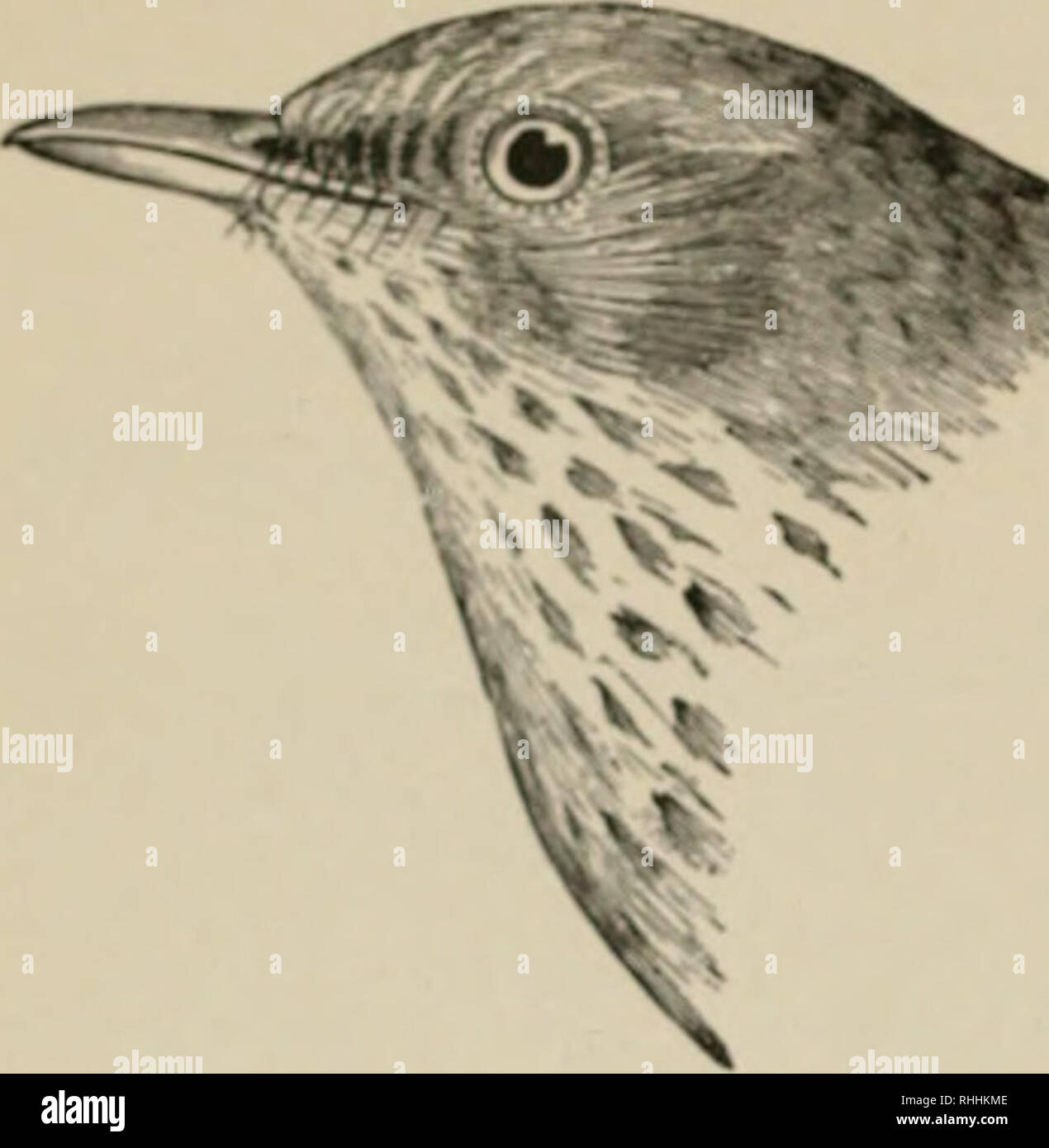 . The birds of eastern North America known to occur east of the nineteenth meridian ... Birds. 322 KF.Y TO THE BIRDS OF EASTERN NORTH AMERICA.. I pper plumage, brownish olive; ends of upper tail c-(»vcit^! ami tail, rufous hrowu, much more rufous than the back; uo wliitf! on tail; first primaiy, very small and narrow, Hermit Thrush. Turdus aonalaschkce pallasii. See No. 5G5.. Please note that these images are extracted from scanned page images that may have been digitally enhanced for readability - coloration and appearance of these illustrations may not perfectly resemble the original work..  Stock Photo