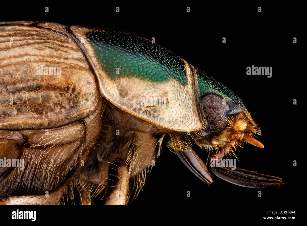 Profile portrait of a Japanese beetle - Stock Image