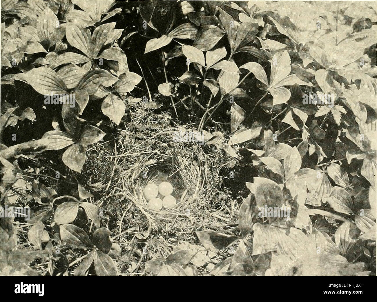 . Birds of Massachusetts and other New England states. Birds; Birds. Photograph by Miss Cordelia J. Slanivood Fig. 96. — Olive-backed Thrush in Juvenile Plumage Page 398. Pholoqrnph hi/ Mi-is Cordelia J. Stanwood Fig. 97. — Nest and Eggs of Hermit Thrush Page 401. Please note that these images are extracted from scanned page images that may have been digitally enhanced for readability - coloration and appearance of these illustrations may not perfectly resemble the original work.. Forbush, Edward Howe, 1858-1929; Massachusetts. Dept. of Agriculture. [Norwood, Ma. : Printed by Berwick and Smith Stock Photo