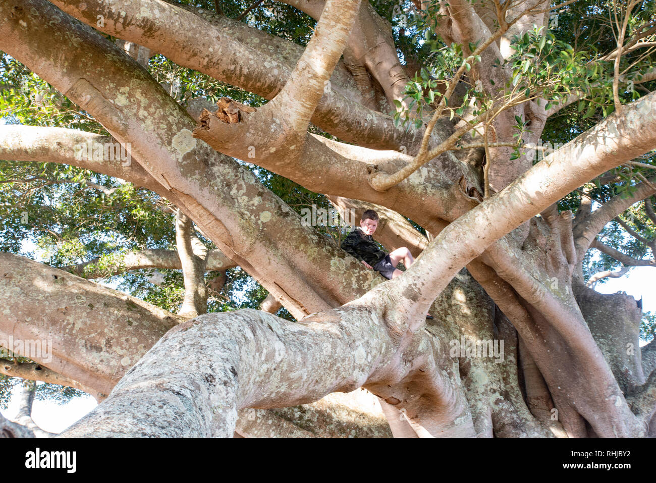 Young boy in large fig tree, Wollongbar, New South Wales, Australia Stock Photo