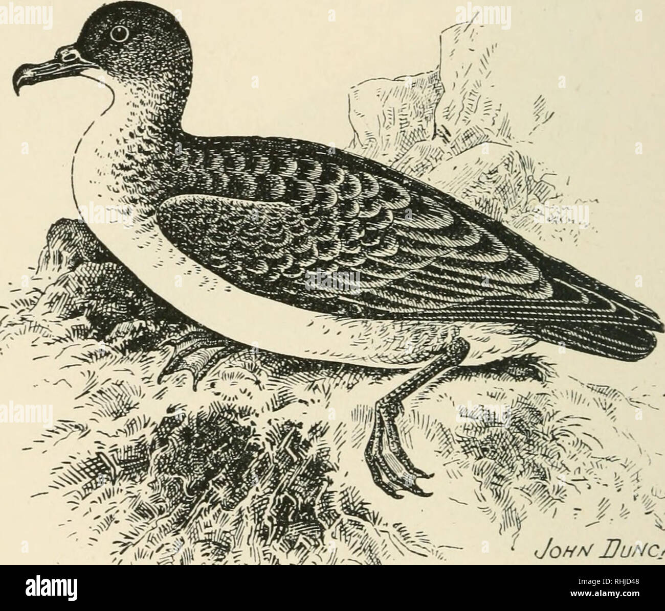 . Birds of the British Isles. Birds -- Great Britain; Birds -- Ireland. 404 BIRDS OF THE BRITISH ISLES. 2)u6ft^ Sbearwater*. The Dusky Shearwater {Fiiffinus obscums, Gmelin) is an exceedingly rare abnormal spring migrant to the British Islands, and inhabits the Tropic Seas. This Shearwater in adult plumage closely resembles Puffinus anglorum in colouration, but is less in size, and the upper parts are darker. Length, about eleven inches.. Please note that these images are extracted from scanned page images that may have been digitally enhanced for readability - coloration and appearance of the - Stock Image