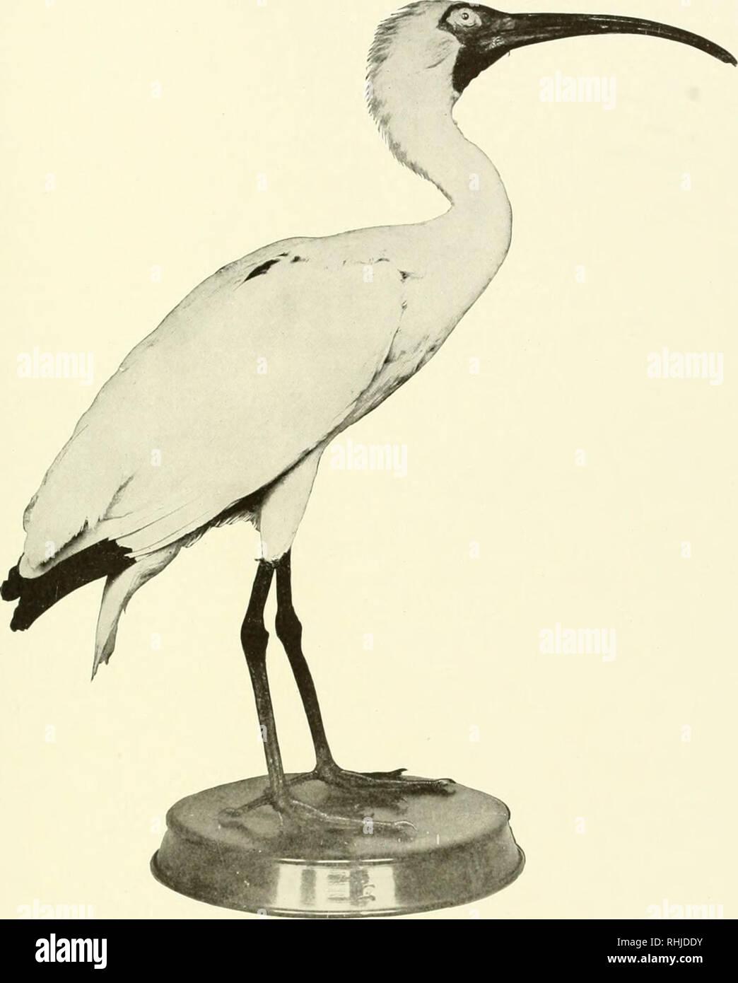 Ibis A New York birds of new york. birds. birds of new york 241. white ibis