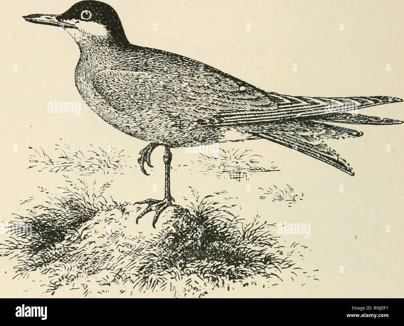 . Birds of the British Isles. Birds -- Great Britain; Birds -- Ireland. 382 BIRDS OF THE BRITISH ISLES. Mbi6ftere£) ^ern.. The Whiskered Tern {^Hydrochelidon hybrida^ Pallas) is an exceedingly rare abnormal spring and autumn migrant to the British Isles. It inhabits the Southern Palearctic and Oriental Regions, wintering in South Africa, and eastward has occurred as far south as Australia. The adult in breed- ing plumage has the head and nape of neck black; upper parts, lightish-grey; sides of face, chin, throat, and tail, white; under wing-coverts, white; chest, light grey; belly and flanks,  - Stock Image