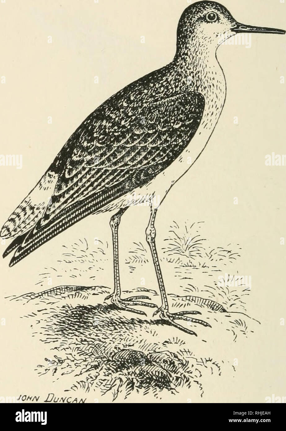 . Birds of the British Isles. Birds -- Great Britain; Birds -- Ireland. 330 BIRDS OF THE BRITISH ISLES. l^ellow^IegQcb Sanbpipen. The Yellow-legged Sandpiper {Totanusflavipes, Gmelin) is a very rare abnormal autumn migrant to the British Isles, and inhabits the Northern Nearctic Region. The adult in nuptial plumage closely resembles the wood sandpiper in the same stage, but is larger in size, and the former shows less white on the rump in proportion, and there are indica- tions of bars at all ages; bill, black and slender; legs and feet, clear yellow. Length, about ten or eleven inches.. Pleas - Stock Image