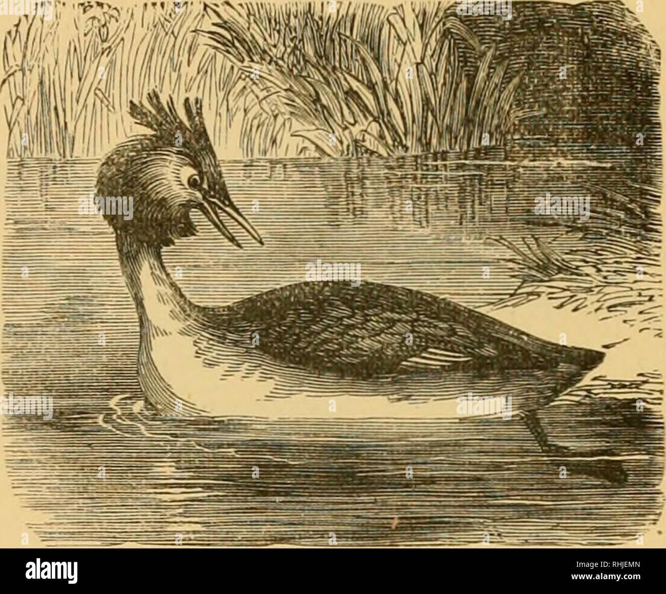 """. The birds of Essex: a contribution to the natural history of the country. Birds. PODICIPID.^—GREBES. ?75 Basin in Wanstead Park. I watched it repeatedly with a g^ood telescope. It was in fine plumage """" {c.f. 40. i. 230). Early in Nov>, 1888, one was killed near Man- ningtree (Laver). iVIr, Hope describes it as common in Essex, especially on the Blackwater. A specimen taken alive near the Hospital at Colchester in_i879, is preserved in the Bree Collection. Great Crested Grebe : Podiceps cristatus. Locally, """" Loon."""" An uncommon visitor, chiefly to our coast, from autumn to sp - Stock Image"""