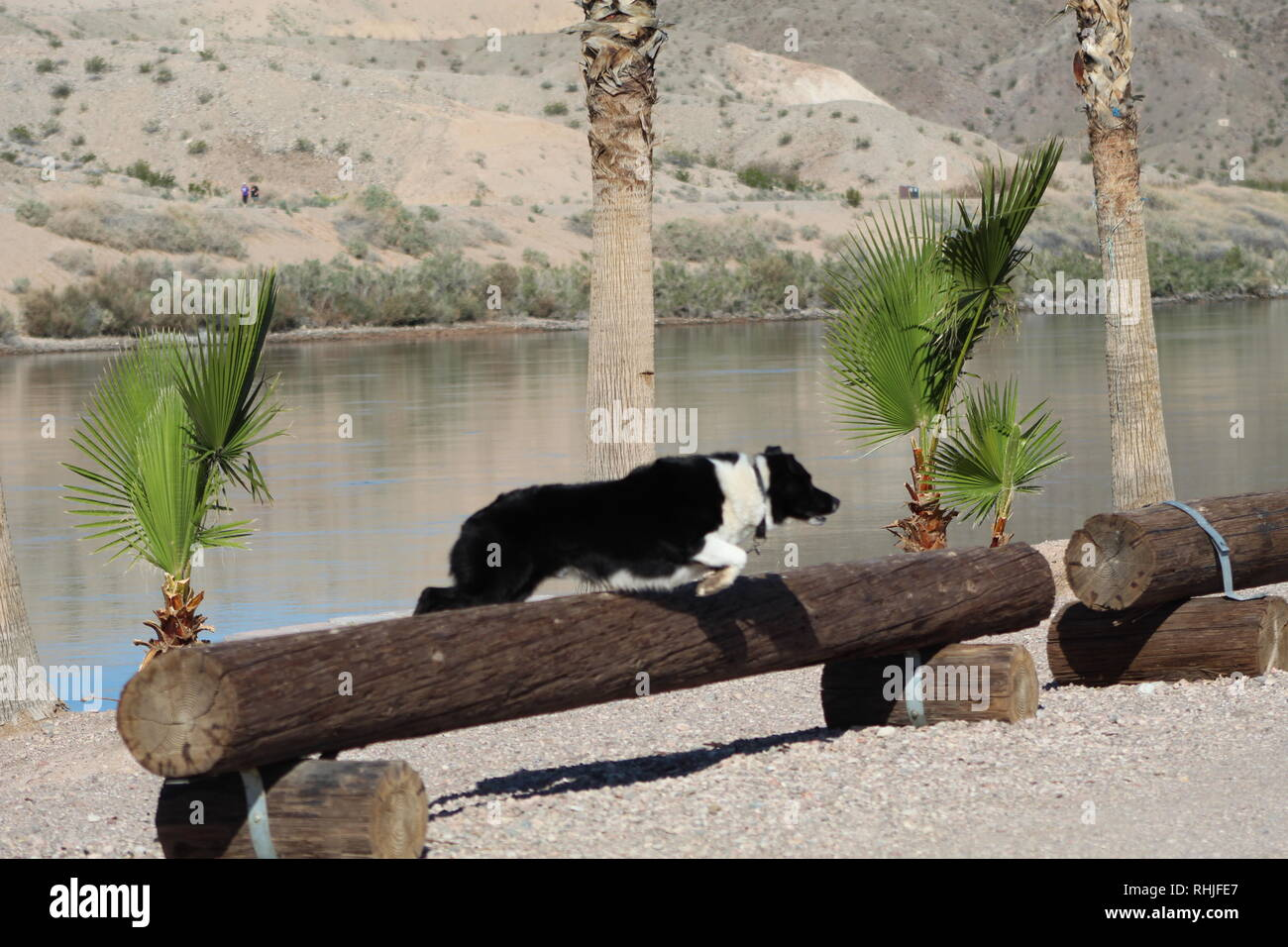 Border Collie leaping - Stock Image