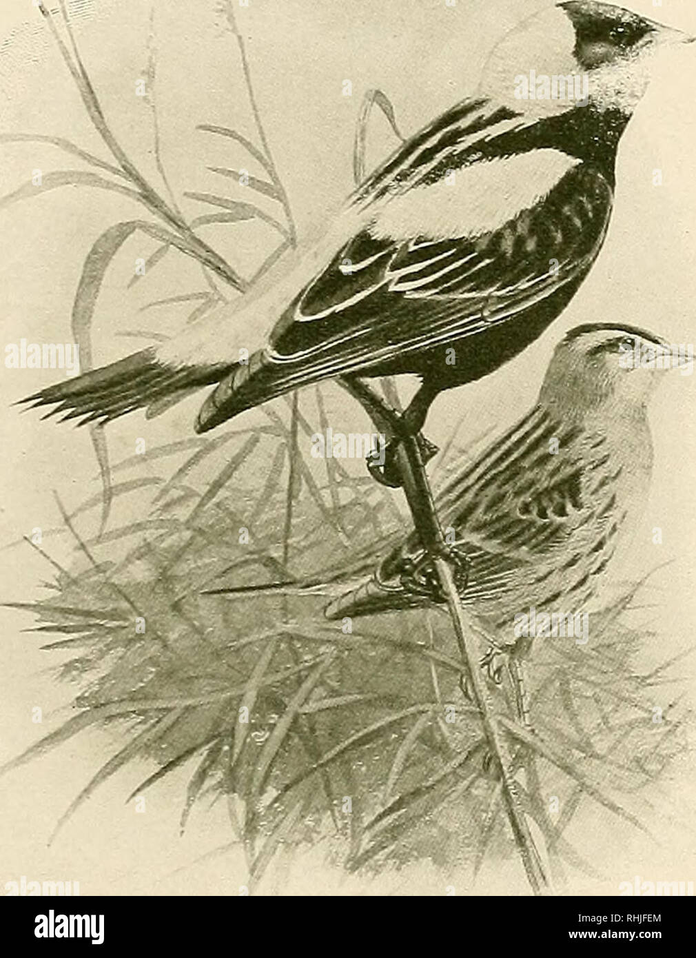 """. The birds of California : a complete, scientific and popular account of the 580 species and subspecies of birds found in the state. Birds; Birds. The Bobolink  and ladies have thronged our streets, and ducal parties have put up at our """"best hotels."""" We have dined with Maharajahs, and danced with Spanish grandees. We have listened to high-brows from Boston—have even gone to hear 'em—twice. The Russian ballet regards us as a private possession, and French artistes, who have never seen Dakota, visit us every year. Captains of industry from Chicago have reclaimed our goat- pastures un - Stock Image"""