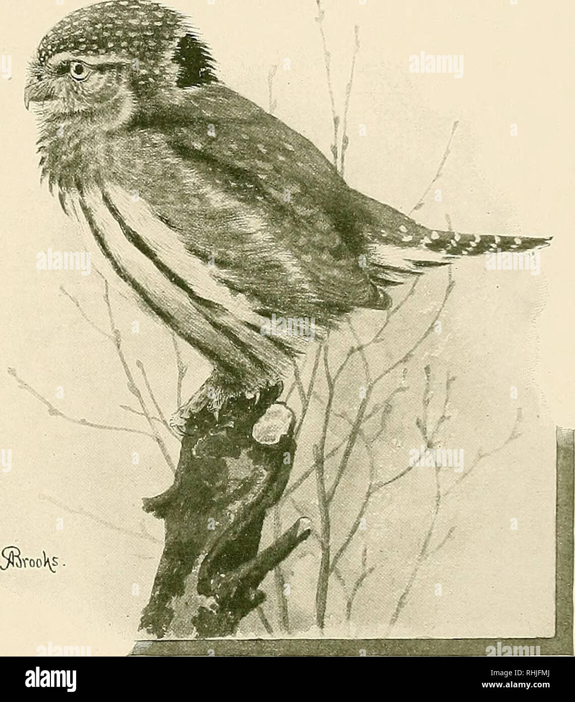 . The birds of California : a complete, scientific and popular account of the 580 species and subspecies of birds found in the state. Birds; Birds. The Pygmy Owls curious impersonality about the gaze of this little owl. Even when he does look in your direction (and he does not flatter you by constant atten- tion by any means), he does not appear to focus on you at all. Perhaps this is a trick of the eye, or else arises from its unlikeness to that of other owls. For although the atmosphere on this occasion was full of light, the bird's pupils were dilated to the utmost, and the irides were mere - Stock Image