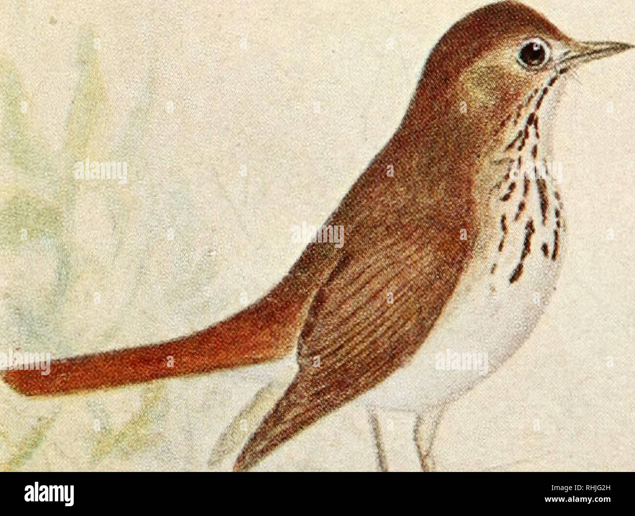 """. Birds of eastern Canada. Birds -- Canada. rr.tjf'â¢â¢â â Â«"""" i'»^ A. Gre>-cheeked Thrush (p. 216). Olive-backed Thrush (p. 217).. flf^- B. Hermit Thrush (p. 217).. Please note that these images are extracted from scanned page images that may have been digitally enhanced for readability - coloration and appearance of these illustrations may not perfectly resemble the original work.. Taverner, Percy Algernon, 1875-1947. Ottawa, J. de L. Tachprinter Stock Photo"""