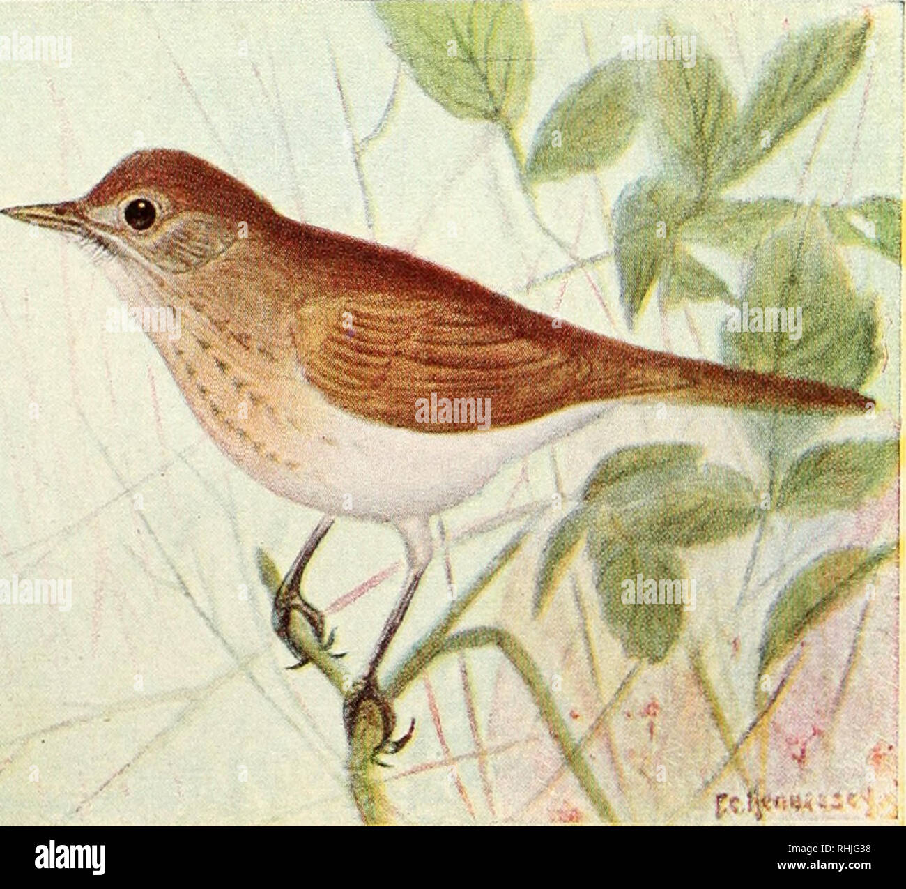 """. Birds of eastern Canada. Birds -- Canada. t^Cih-.;r.. A. Wood Thrush (p. 216).. (,â : Jyciinx.-""""- B. Wilson's Thrush (p. 216).. Please note that these images are extracted from scanned page images that may have been digitally enhanced for readability - coloration and appearance of these illustrations may not perfectly resemble the original work.. Taverner, Percy Algernon, 1875-1947. Ottawa, J. de L. Tachprinter - Stock Image"""