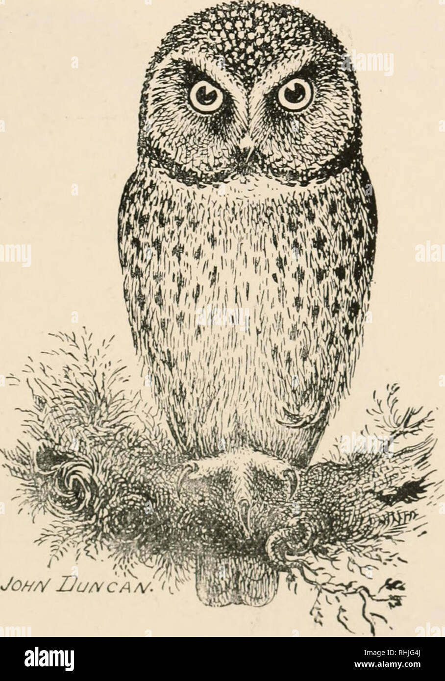 . Birds of the British Isles. Birds -- Great Britain; Birds -- Ireland. BIRDS OF THE BRITISH ISLES. Xlttle ®wl 163. JOH/V 2Ju/v CA/V.'^ The Little Owl (^Athene ?iociiia, Scopoli) is a rare abnormal migrant to the British Islands, and is; a resident in Europe south of Scandinavia. The adult has the upper parts of the plumage greyish-brown; back and wings, spotted with white; head, striped with white; tail, barred with white and tinged with rusty; under parts, white, with broad streaks of brown ; irides, yellow; bill, yellowish ; the toes have a covering of hairy bristles. Length, about eight in - Stock Image