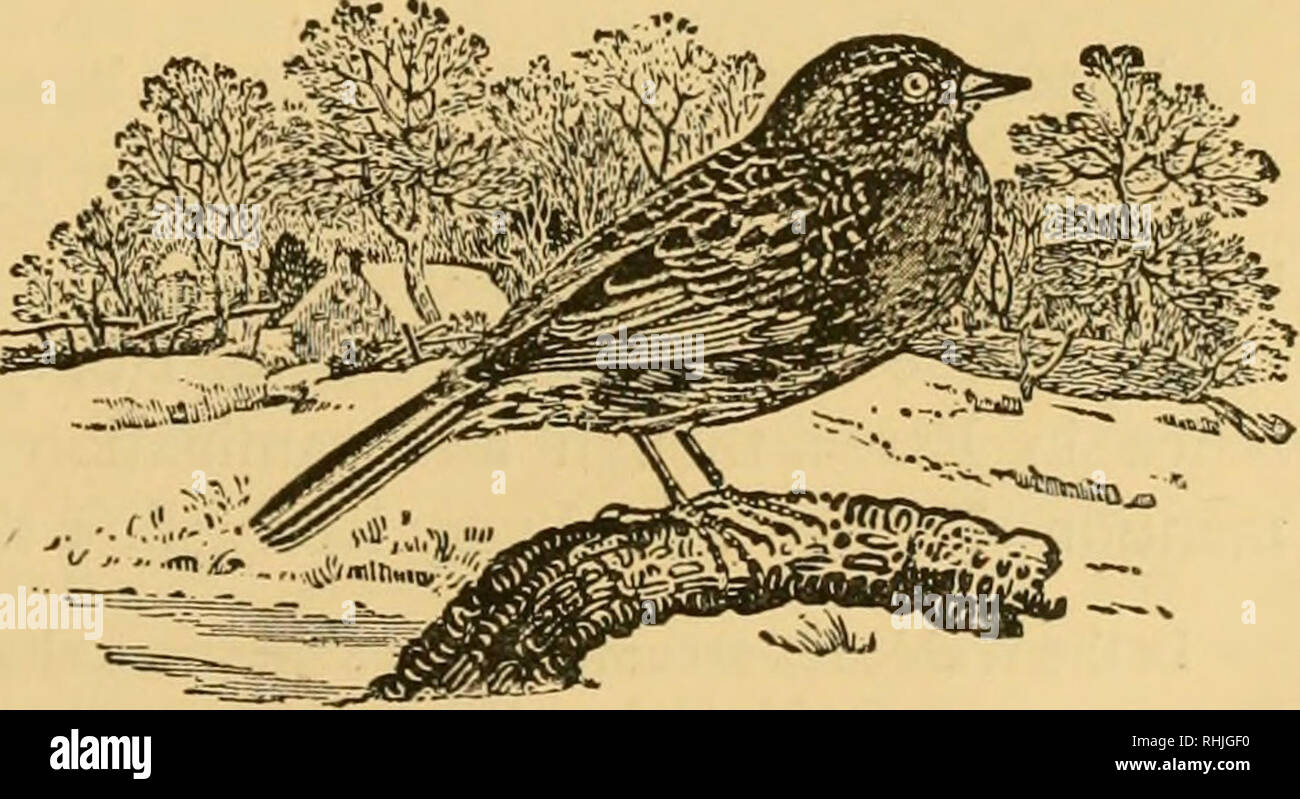 """. The birds of Essex: a contribution to the natural history of the country. Birds. AI.PINF. ACCENTOR, J/3. Golden Square, who sends me an account of its being the Accentor alpinus, or Alpine Warbler, the only one known to have been killed in England with the exception of one in Dr. Thackeray's garden at Cambridge."""" Mr. J. H. Gurney, jun.,who has carefully investigated the history of this speci- men, has ascertained that it was shot in August, 1817, in the garden of Forest House, close to Mr. Gurney Barclay's fields, from among a number of Chaffinches which flew up from one of the beds, an - Stock Image"""