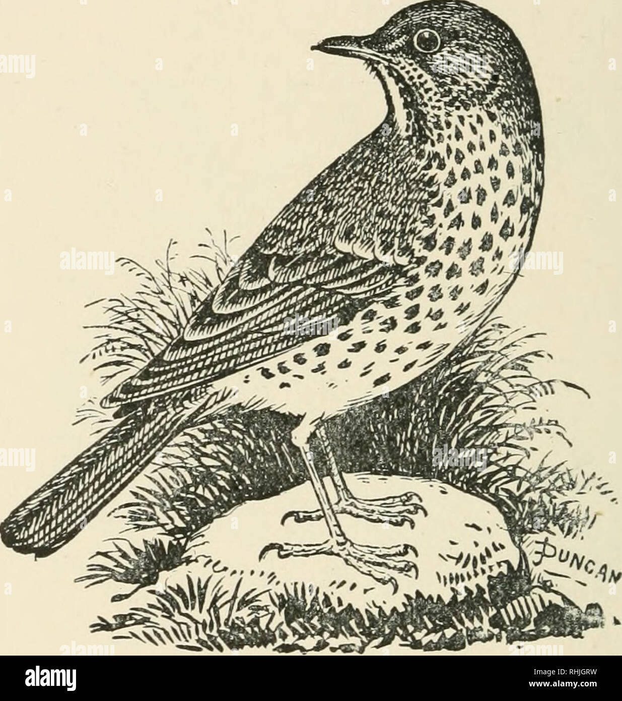. Birds of the British Isles. Birds -- Great Britain; Birds -- Ireland. I04 BIRDS OF THE BRITISH ISLES. Song ?Cbru6b,. The Song Thrush {Turdus vinsiciis^ Linnaeus) is generally distributed throughout the British Isles. It is more or less migratory in its habits, leaving in the late autumn and returning in early spring. The adult is dark olive- brown on the upper parts; eye-stripe, buff; quills and wing-coverts, margined with deep yellowish-brown, and there are buff tips to some of the feathers; under parts, buff, shading into white on belly; sides of throat, chest, and remainder of body, profu Stock Photo