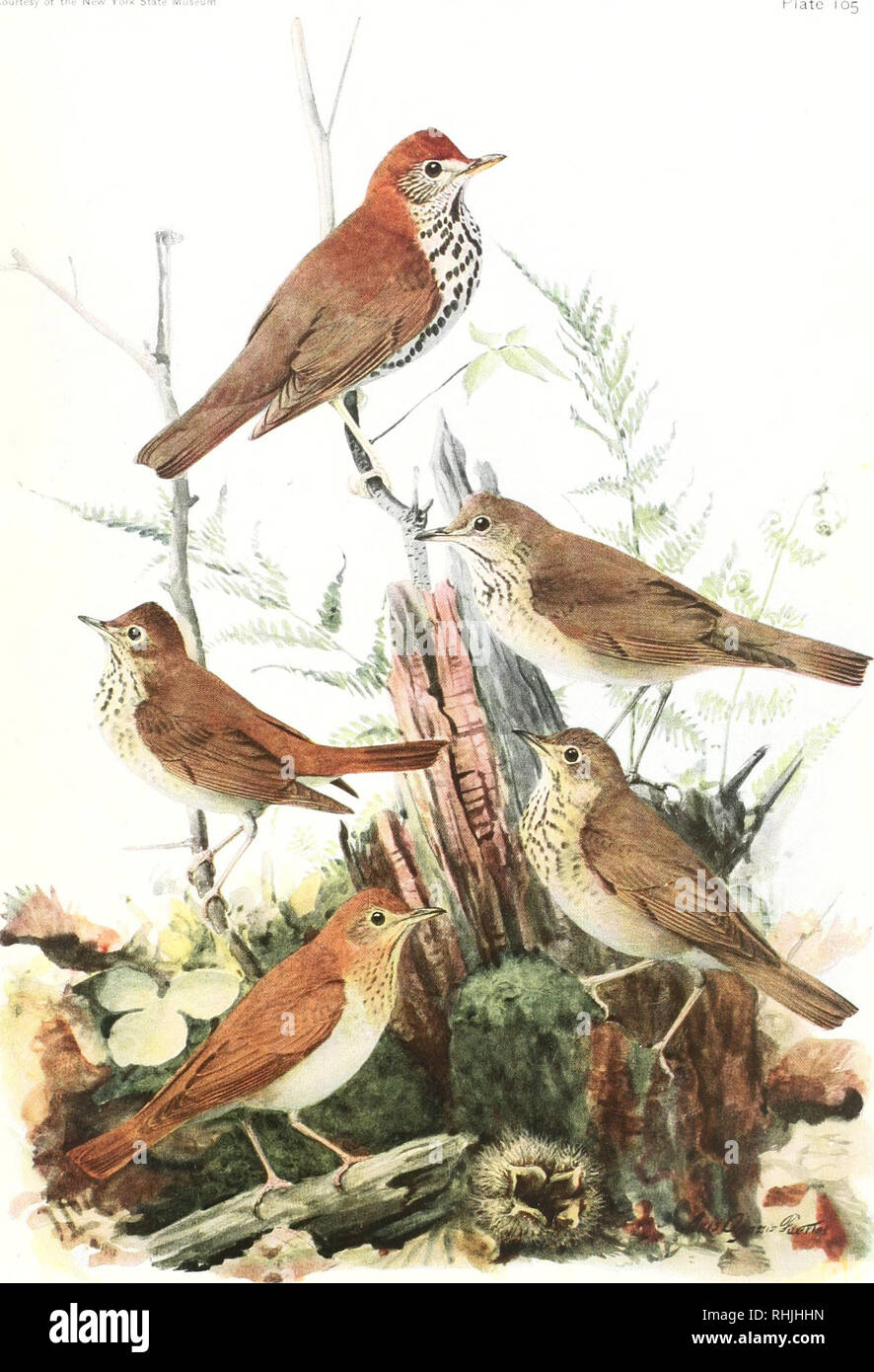 """. Birds of America;. Birds -- North America. Courtesy of the New York State M Plate 105. GRAY-CHEEKED THRUSH !hii.u""""ld"""" ,il,r:"""", ,il,,-,"""",' iH:iinI OLIVE-BACKED THRUSH lllllacirhla uMn'ata siminsuia (TM-hudi). Please note that these images are extracted from scanned page images that may have been digitally enhanced for readability - coloration and appearance of these illustrations may not perfectly resemble the original work.. Pearson, T. Gilbert (Thomas Gilbert), 1873-1943. New York, The University Society Stock Photo"""