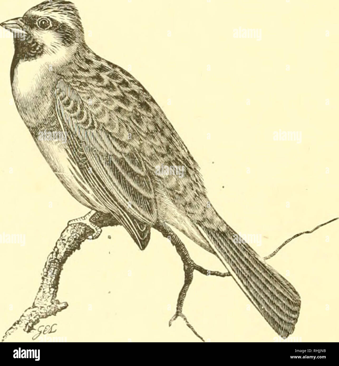 . The birds of Dorsetshire; a contribution to the natural history of the county. Birds. 42 THE BIRDS OF DORSET. YELLOWHAMMEK. Emheriza citrinelJa, L. Yarrell, ii. p. 43 ; Ilarting, p. 26; Dresser, iv. p. 171; Seehohn, ii. p. 160; Ibis List, p. 60; Pulteneifs List, p. 11. A well-known resident, flocking in winter, when it may often be found in the rickyards with Sparrows, Greenfinches, and Chaffinches. CIEL BUNTING. Emheriza cirlus, L. Yarrell, ii. p. 50; Harting, p. 26; Dresser, iv. p. 177 ; Seebohm, ii. p. 156; Ibis List, p. 60.. The Cirl Bunting is resident, and not uncommon in Dorsetshire i - Stock Image
