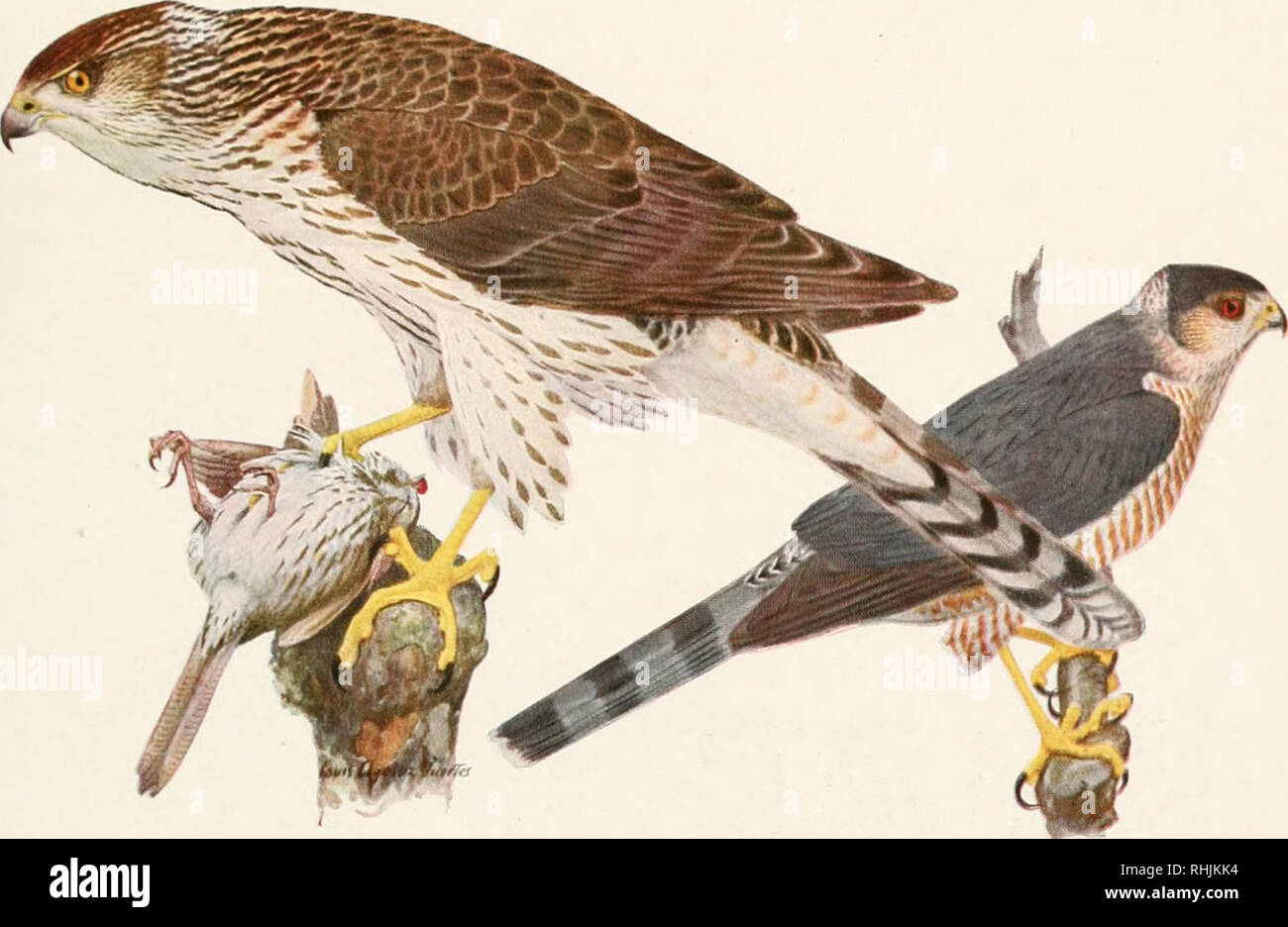Birds Of America Birds North America Courtesy Of The New York State Mus Um Plate 44 Cooper S Hawk Accipiter Cooperi Bonaparte Immature Female All I Nnt Size Sharp Shinned Hawk Accipiter Rc Ox