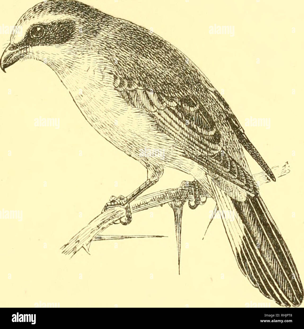 . Birds: the elements of ornithology ; with 174 illustrations whereof 140 are original drawings. Birds; Birds. IN TBODTJCTION. 121 occasioual visitant to this country. It feeds on mice, small birds, frogs, lizards, and various insects. The commonest species of the genus is the Red-backed Shrike or Butcher-bird {Lcmius coUurio), and may serve as our type.of the whole group. The name of Butcher-bird has been no doubt occasioned from the curious habit it has of impaling its prey upon sharp thorns or fixing them into clefts. I'ragments of its victims, pieces of skin, with bleached bones of birds o - Stock Image
