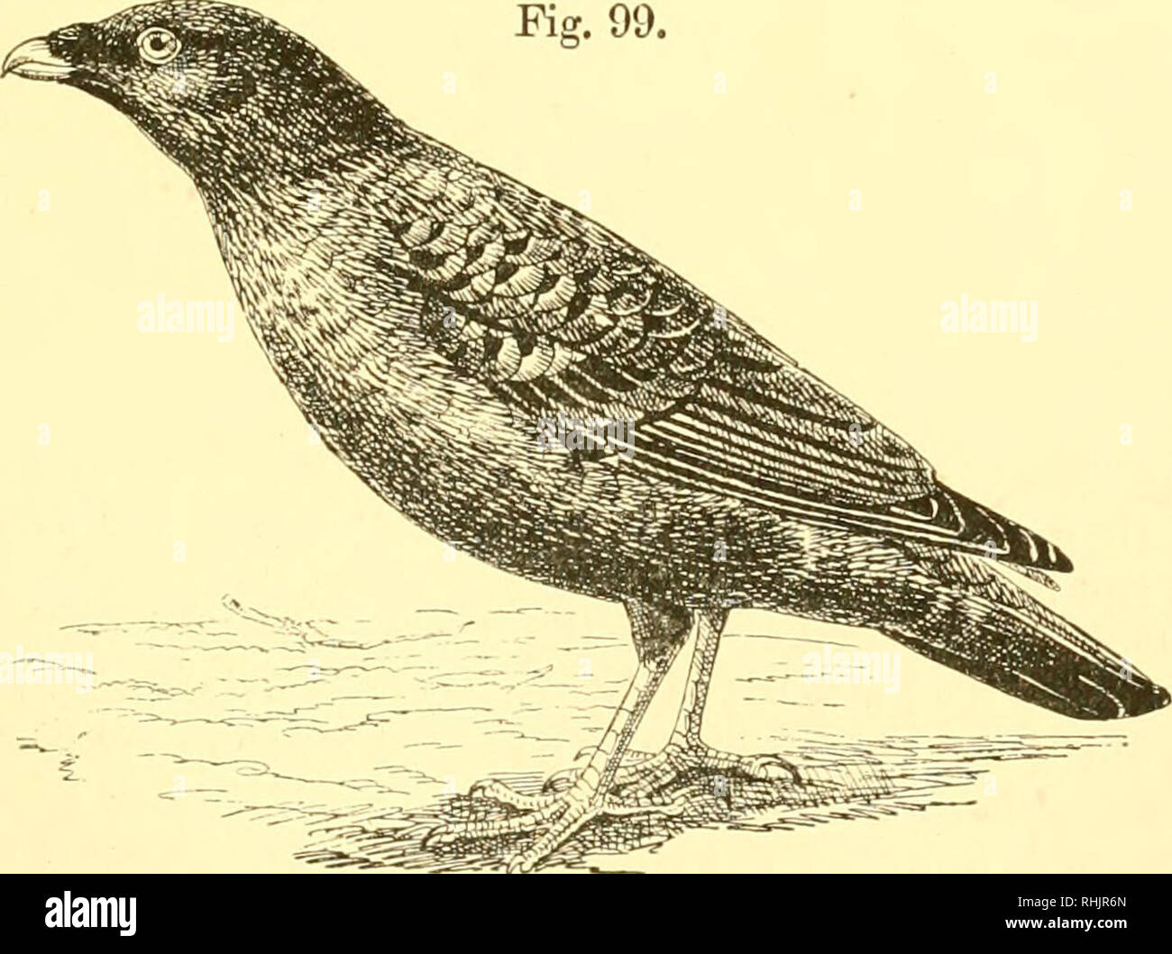 . Birds: the elements of ornithology ; with 174 illustrations whereof 140 are original drawings. Birds; Birds. The Huia-bii'd {Heteralocha acutirostris), Fiff. 99.. The Satin Uower-bird {PiUonorhi/nchus violacetts).. Please note that these images are extracted from scanned page images that may have been digitally enhanced for readability - coloration and appearance of these illustrations may not perfectly resemble the original work.. Mivart, St. George Jackson, 1827-1900. London : R. H. Porter Stock Photo