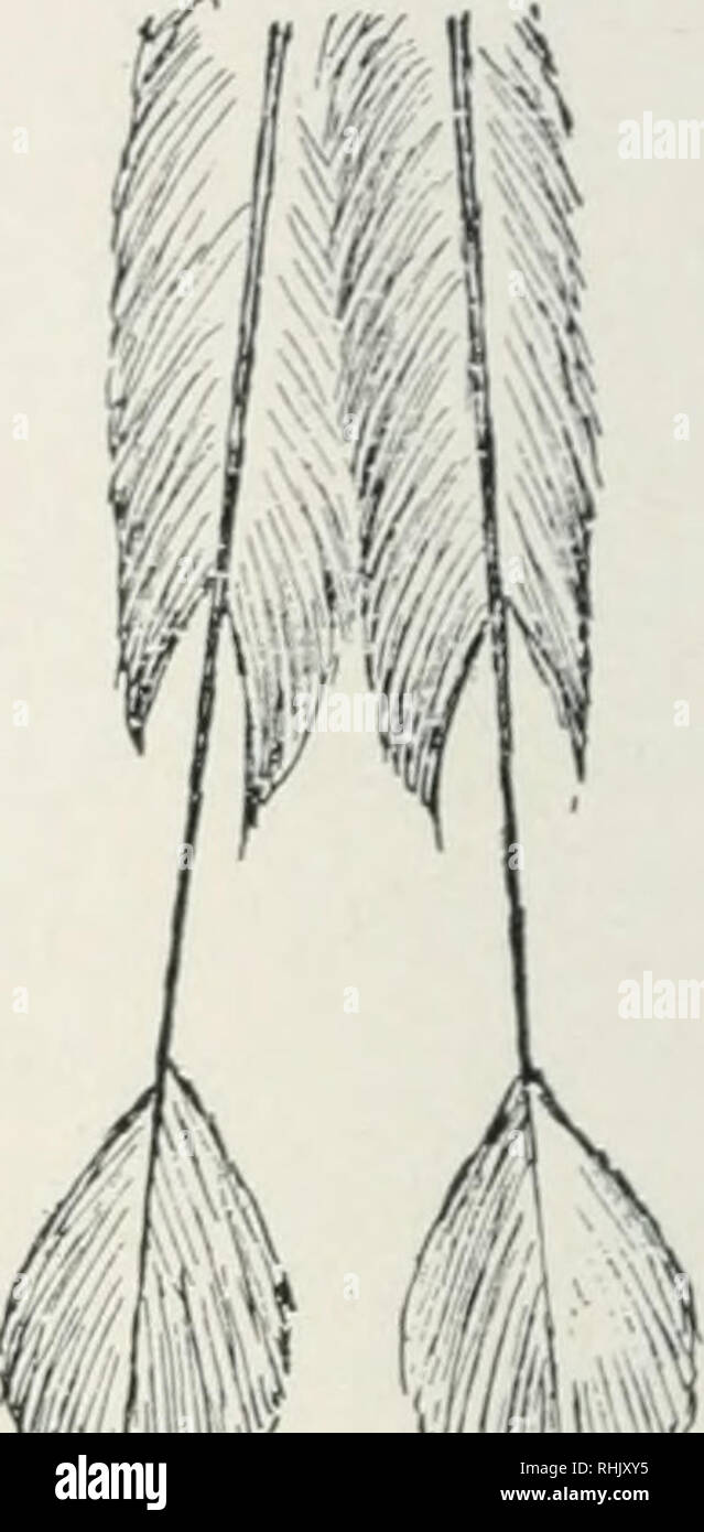 """. Bird-life; a guide to the study of our common birds. Birds -- United States; Birds -- Juvenile literature. WW """"ItV' Frr.. 11.—Central tail-feathers of Motmot [Momottts svbrufescens), showing newly grown feathers (at the left) and results of self-inflicted mutilation. in confinement where they were isolated from others of their kind, trimmed their tail-feathers soon after they were grown.""""^ The habit, therefore, is inherited, but the mutilation, although it has doubtless been practiced for countless generations, has not become iidierent, unless we consider the constriction in the ya - Stock Image"""