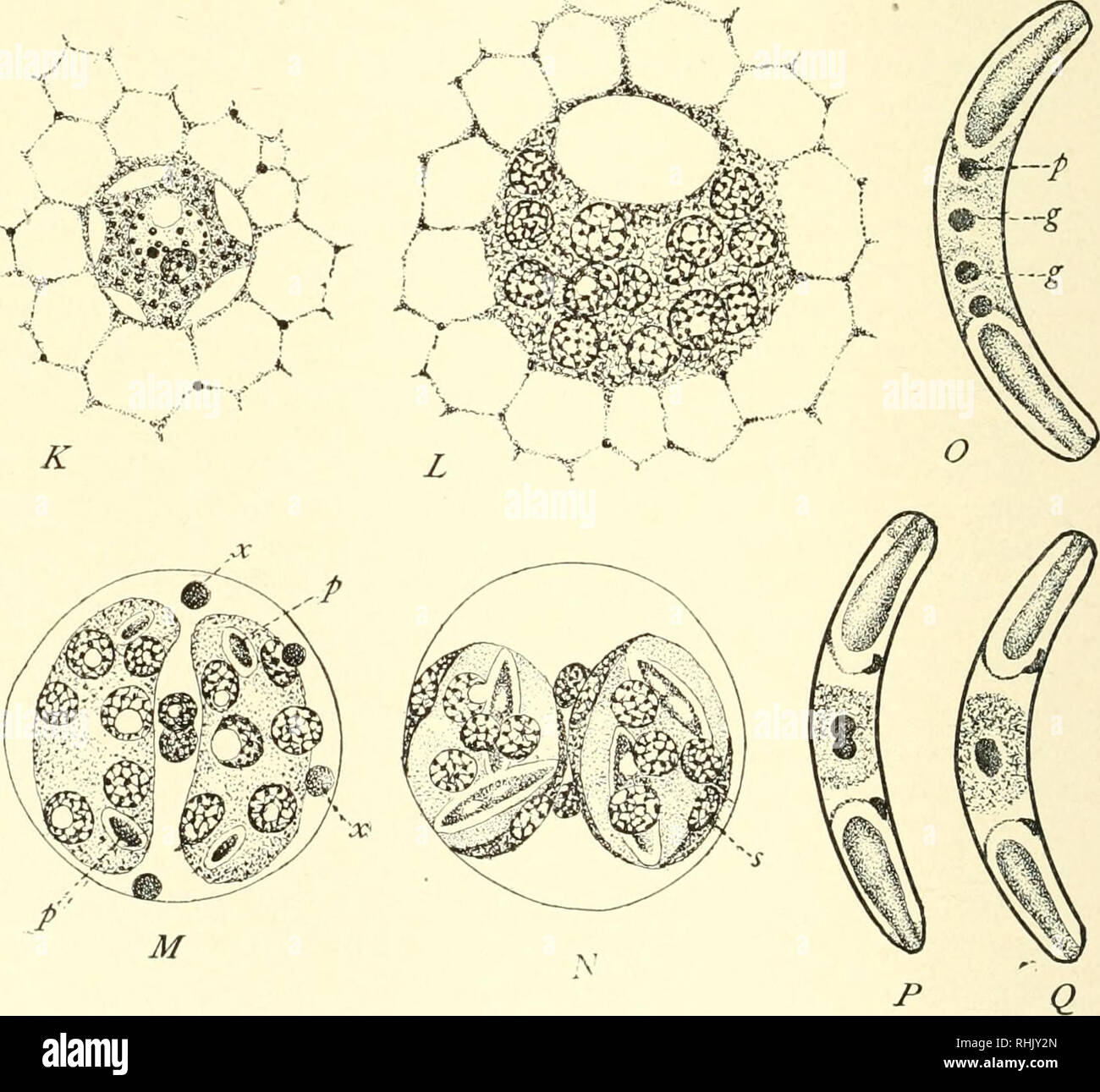 . The biology of the Protozoa. Protozoa; Protozoa. Fig. 229.—Myxoholus pfeifferi (A to /) and Sphwromyxa sahrazesi {K to Q). See text. (After Keysselitz and Schroder.). Please note that these images are extracted from scanned page images that may have been digitally enhanced for readability - coloration and appearance of these illustrations may not perfectly resemble the original work.. Calkins, Gary N. (Gary Nathan), b. 1869. Philadelphia, New York, Lea & Febiger Stock Photo
