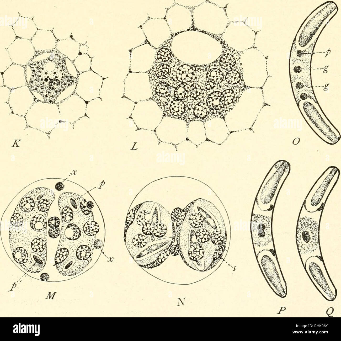 . The biology of the Protozoa. Protozoa; Protozoa. Fig. 186.—Myxobolus pfeifferi (A to /) and Sphceromyxa sabrazesi (K to (?). (See text). (After Keysselitz and Schroder.). Please note that these images are extracted from scanned page images that may have been digitally enhanced for readability - coloration and appearance of these illustrations may not perfectly resemble the original work.. Calkins, Gary N. (Gary Nathan), b. 1869. Philadelphia, New York, Lea & Febiger Stock Photo