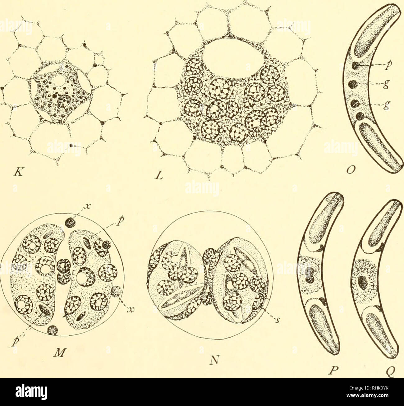 . The biology of the protozoa. Protozoa; Protozoa. fe#.-<â¢â¢â  -a -V,.  ^e^s3!. Fig. 164.âMyxobolus pfeifferi (A to J) and Sphaeromyxa sabrazesi (K to Q). See text, (After Keysselitz and Schroder.). Please note that these images are extracted from scanned page images that may have been digitally enhanced for readability - coloration and appearance of these illustrations may not perfectly resemble the original work.. Calkins, Gary N. (Gary Nathan), b. 1869. Philadelphia, Lea & Febiger Stock Photo