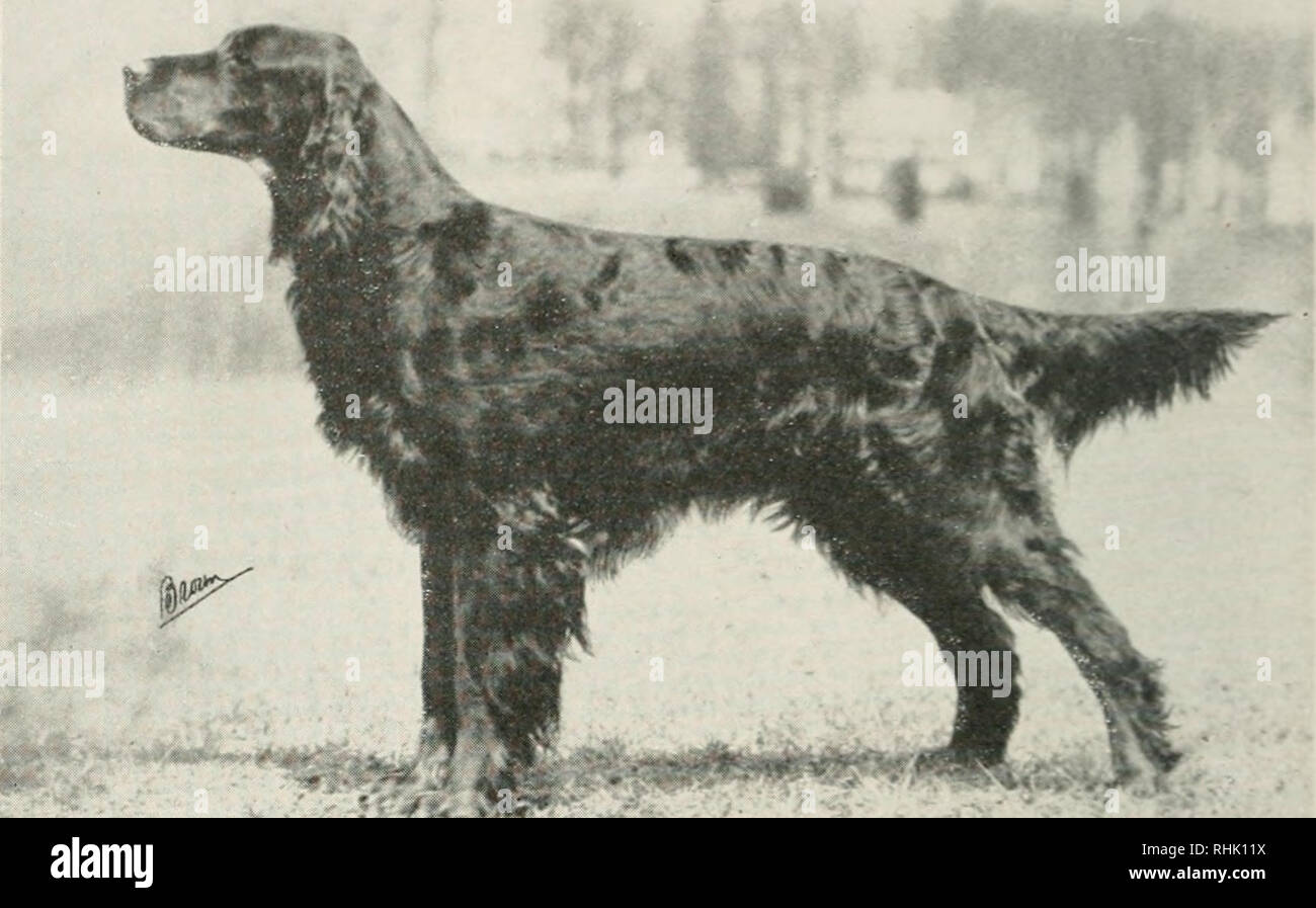 English_setter Stock Photos & English_setter Stock Images
