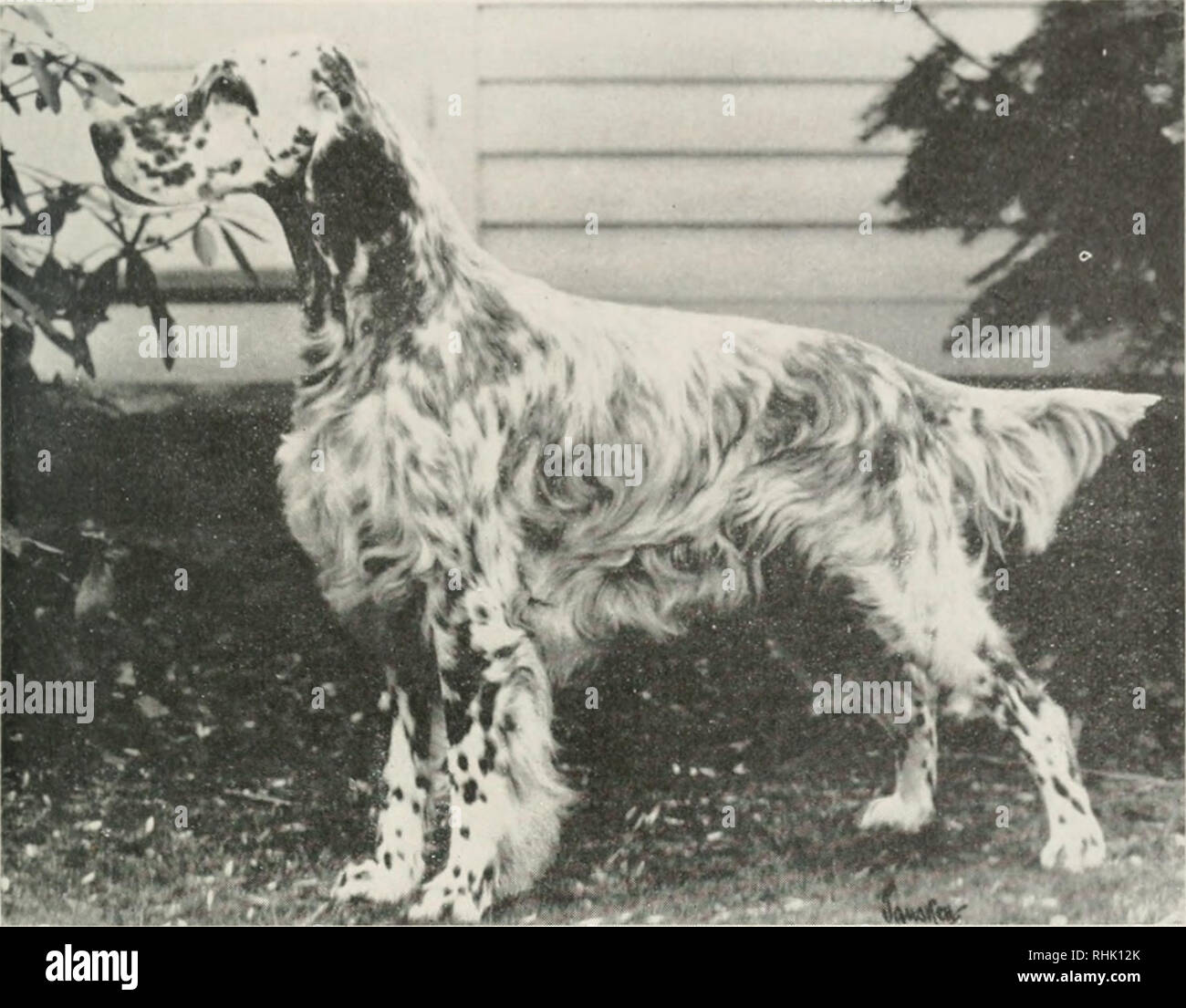 English Setter Pheasant Stock Photos & English Setter