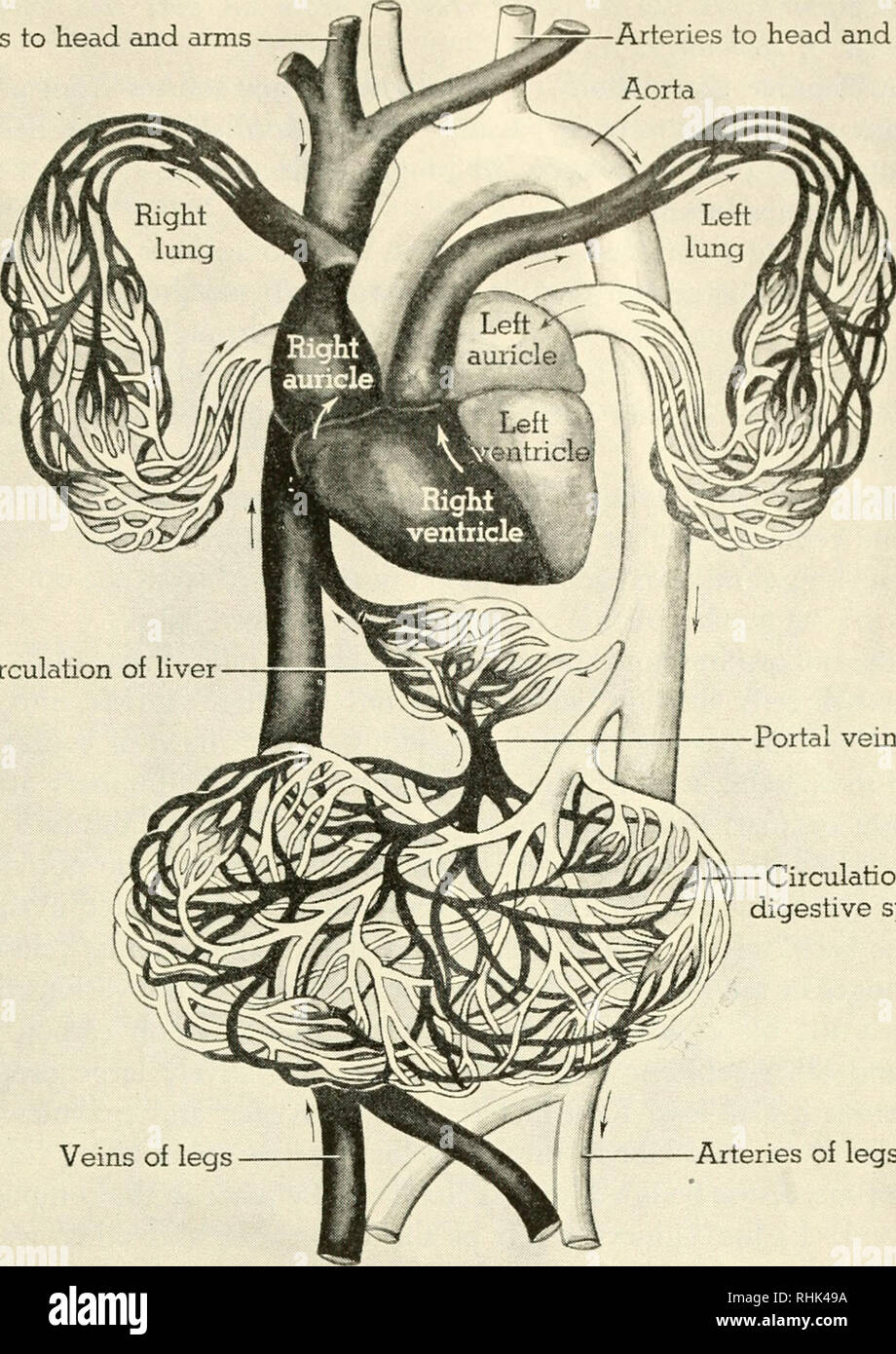 Biology And Man Biology Human Beings Veins To Head And Arms