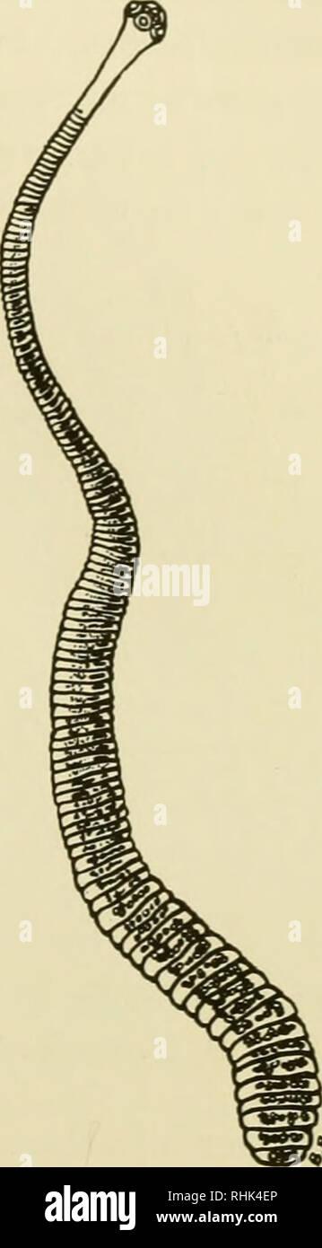 Hymenolepis Nana Stock Photos & Hymenolepis Nana Stock