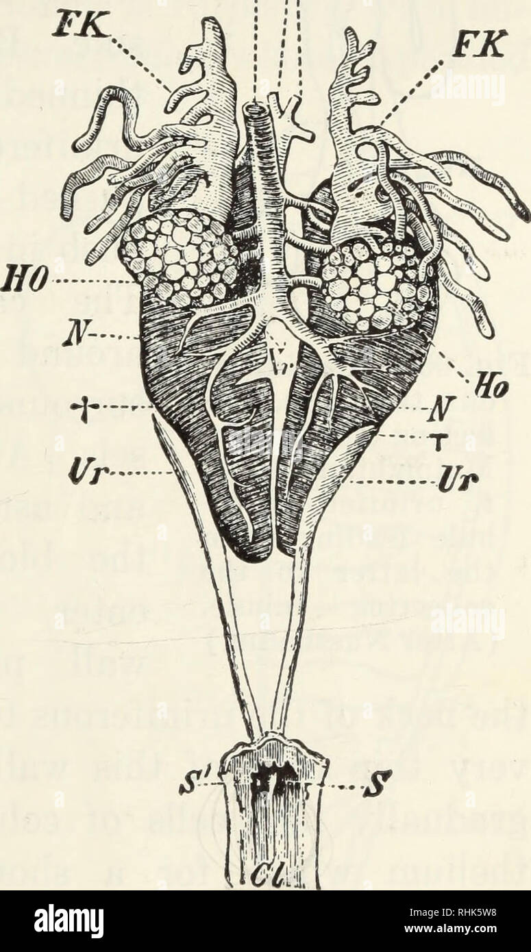 the biology of the frog  frogs  the excretory system 207 structure and  function