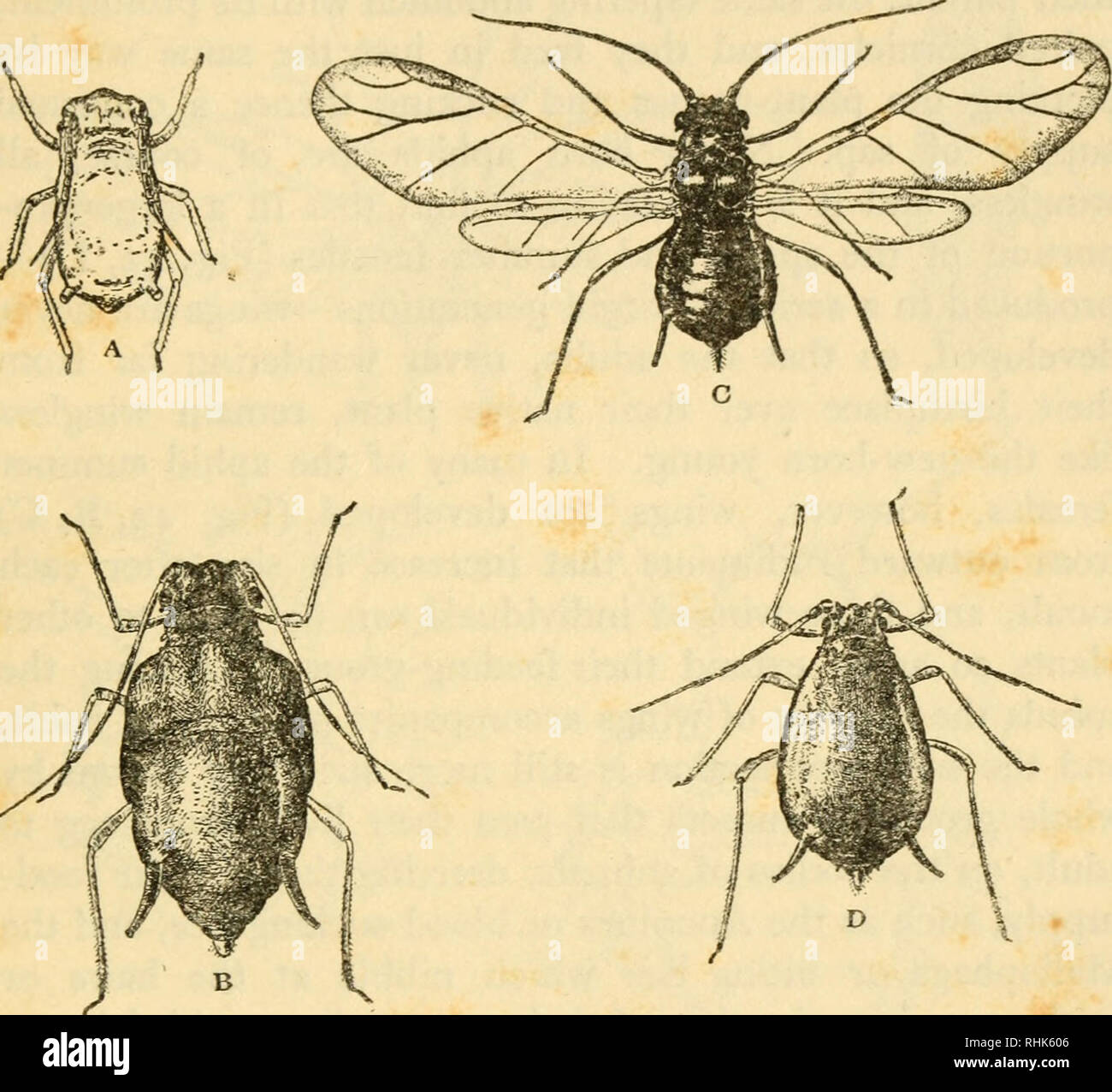 . The biology of insects. Insects -- Biology. GROWTH AND TRANSFORMATION 163 described, the young insect, all through its growth in general aspect, and indeed in many details of structure, resembles the adult, and its wing-rudiments appear at an early stage as outgrowths of the two thoracic segments that carry the wings. Such insects undergo no marked trans- formation ; a young grasshopper has the long leaping legs, and a young cockroach the flattened body and rounded. Fig. 42.—Forms of Vine Aphid {Macrosiphum vittcola), Amenca. A, newborn young, X 70 ; B, nymph with wing-rudiments, X 20; C, wi - Stock Image