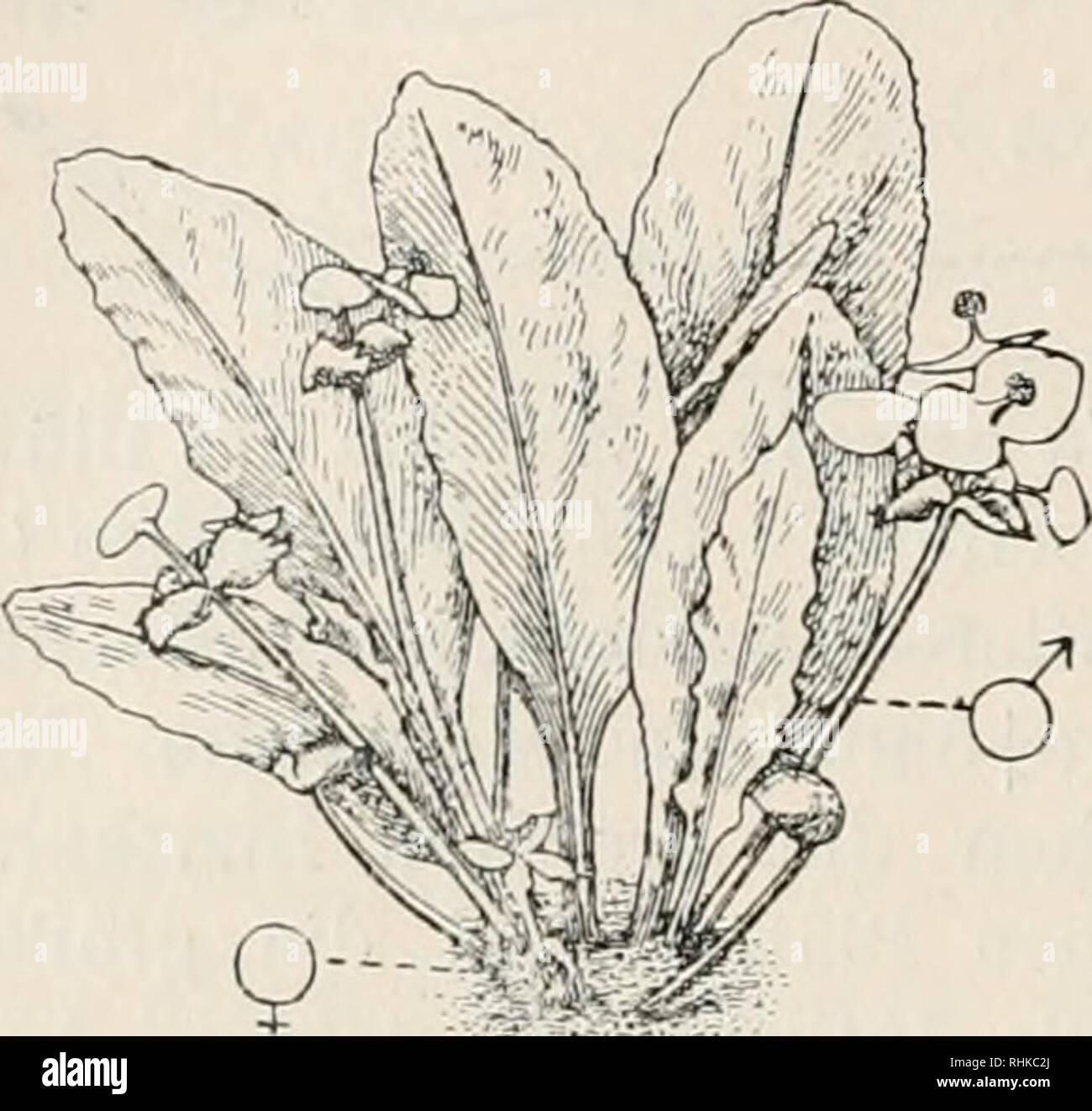 """. Biologisches Zentralblatt. Biology. 712 Goebe], Über sexuellen Dimorphismus bei Pflanzen. kein Anthocyan, welches dem weiblichen ßlütenstiel eine rote Fär- bung verleiht, Dass diese Differenz """"zweckmäßig"""" ist, ist klar, hat doch der weibliche Blütenstiel der heranreifenden Frucht die nötigen Baumaterialen zuzuführen, während die männliche Blüte nur den Blütenstaub hervorbringt und dann abgeworfen wird. Offenbar sind auch hier, wie bei den oben erwähnten Fällen, für die Ausbildung der weiblichen Blüten größere Mengen von Baumaterialien not- wendig als für die männlichen, was sich dann au Stock Photo"""
