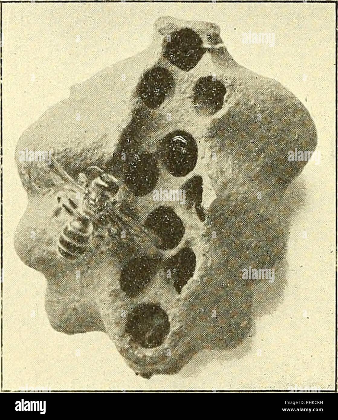 . Biologisches Zentralblatt. Biology. 30 v. Buttel-Reepen, Die phylogenetische Entstehung des Bienenstaates. Bienen ist; immerhin giebt Smith an, dass er zwei Drittel der Zellen besetzt fand. Nielsen (1. c.) berichtet, dass er in einem Neste von Eucera longicornis L. zwei Weibchen arbeitend gefunden habe. Auch hier dürfte nur der Flugkanal gemeinsam gewesen sein. Das Nest von Halictus quaäricinctus1). Einen weiteren Fortschritt zur Vergesellschaftung müssen wir im folgenden erblicken. Während die allermeisten solitären Apiden niemals eine Kenntnis ihrer Nachkommenschaft erhalten, da sie entwed - Stock Image