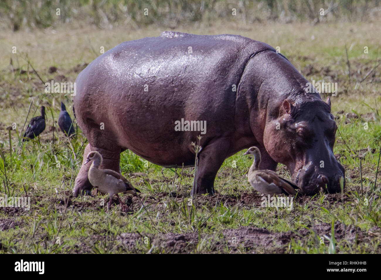 Hippo and two birds - Stock Image