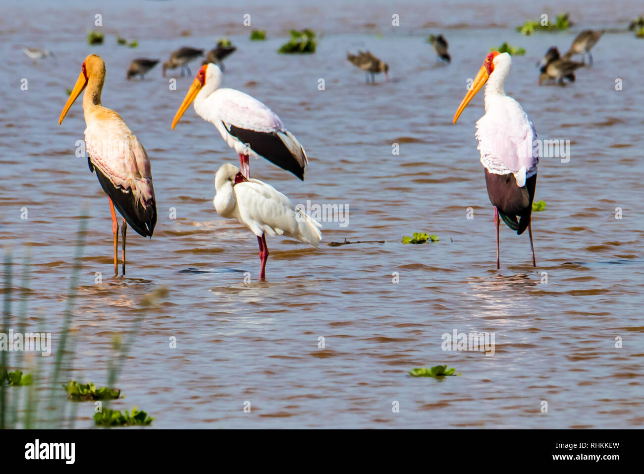 Saddle-Billed Storks standing in the water - Stock Image