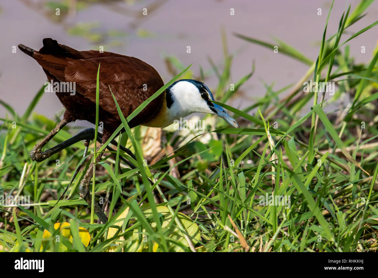 African jacana looking for food in the grass - Stock Image