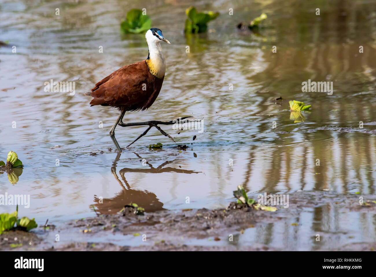 African jacana stand on the water - Stock Image