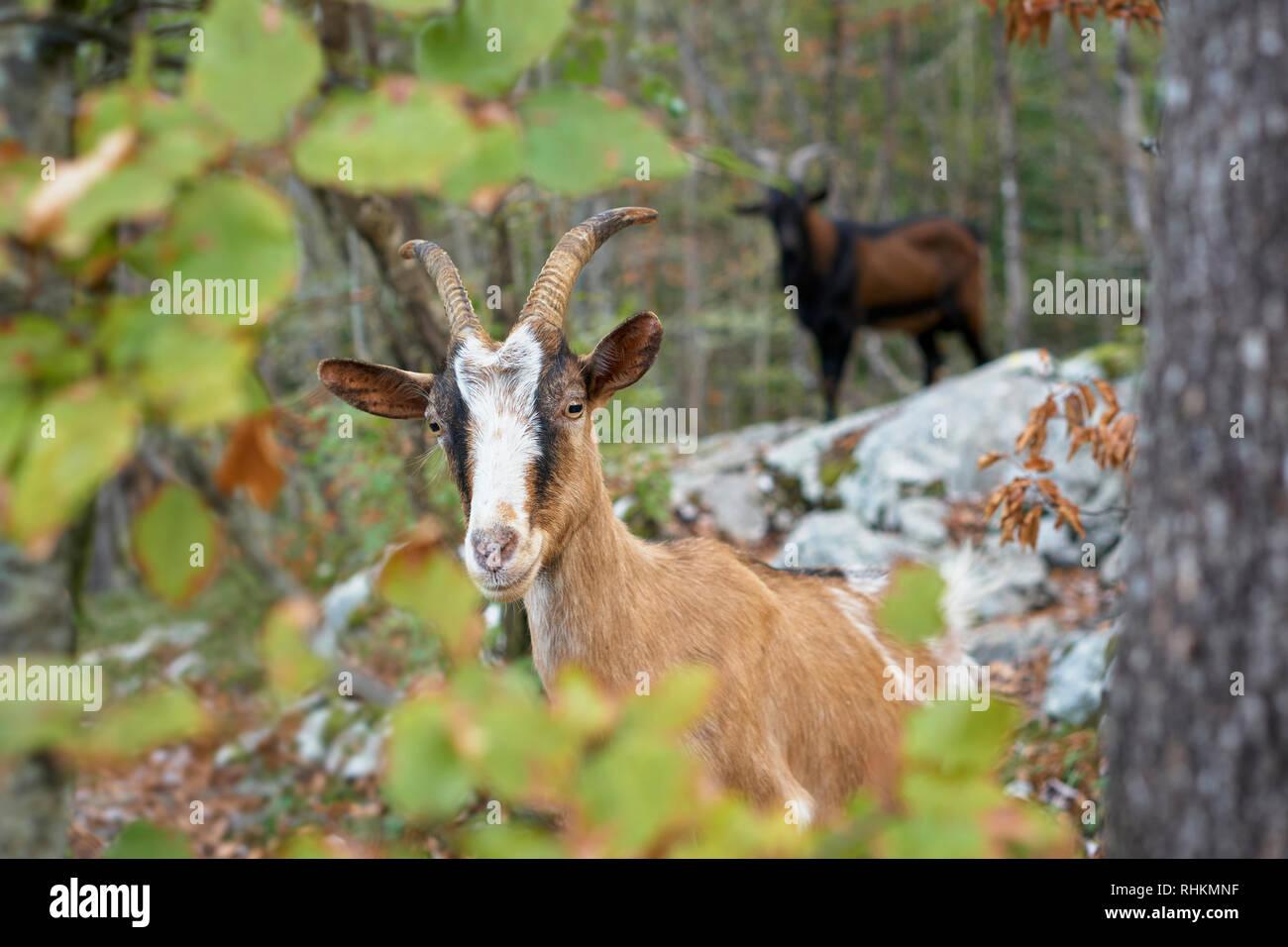 Nanny goat in the woods above Ribcev Laz, Bohinj, Gorenjska, Slovenia - Stock Image