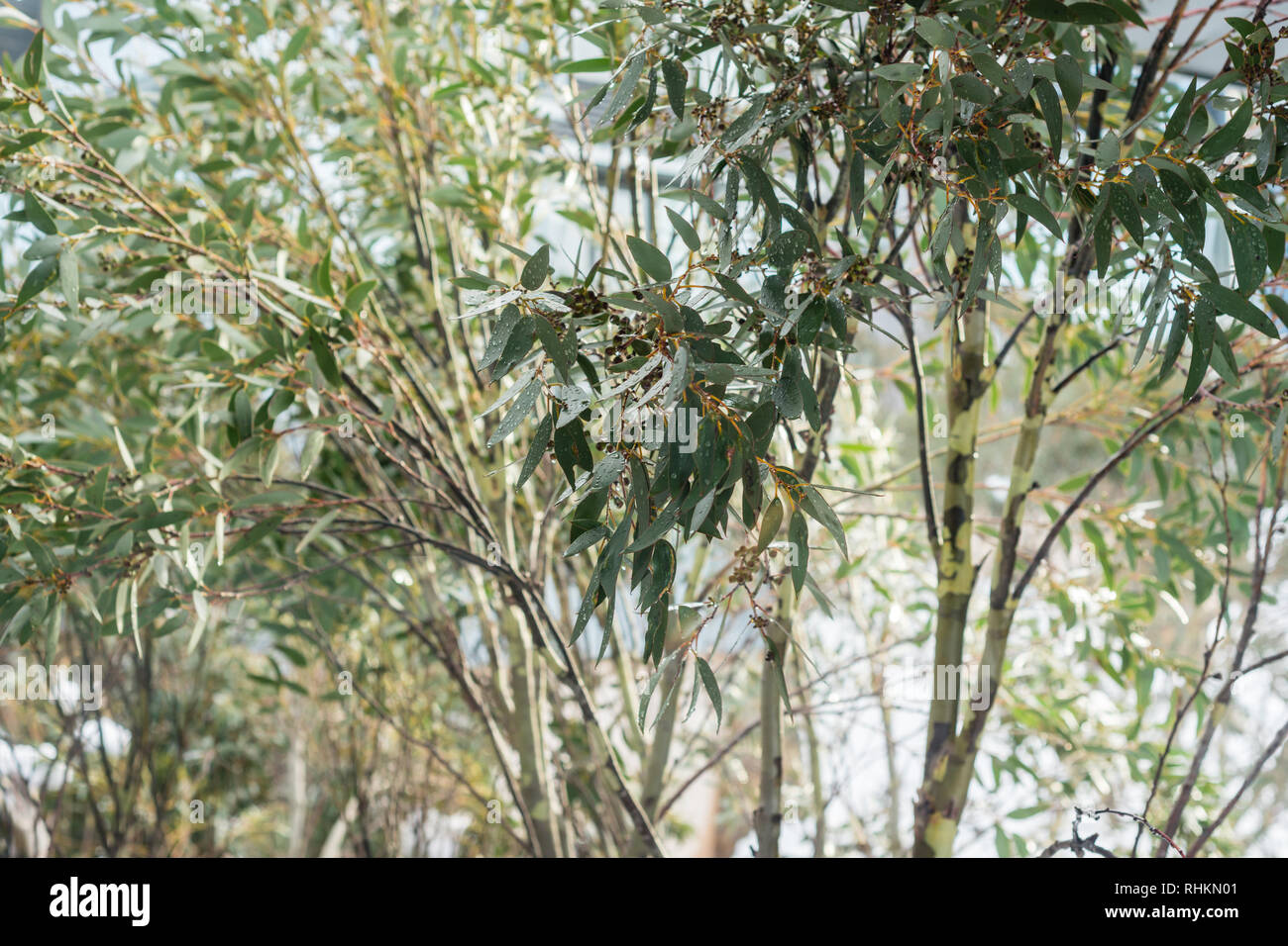 gum leaves with snow - Stock Image