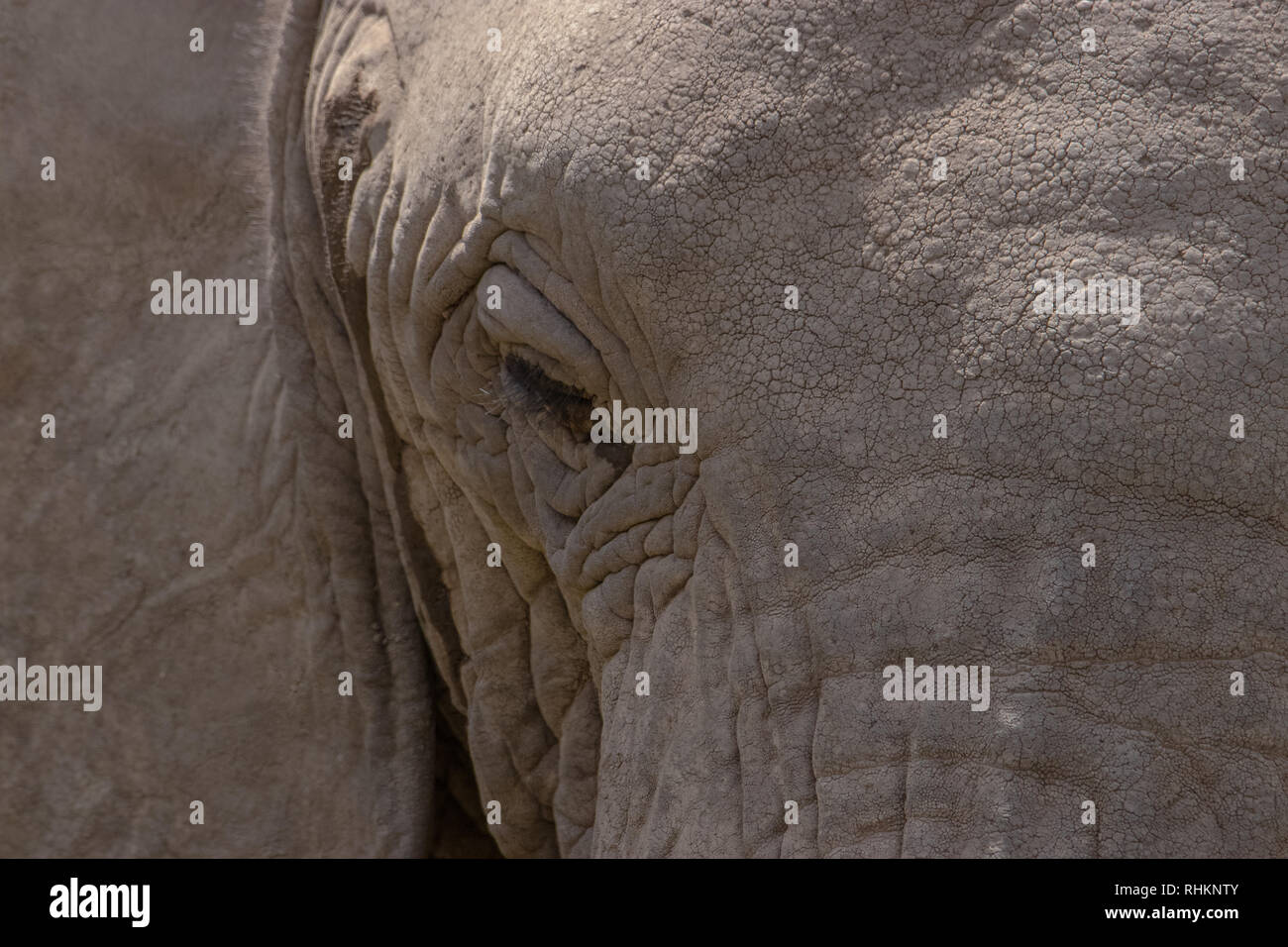 Close-up of an elephant's head - Stock Image