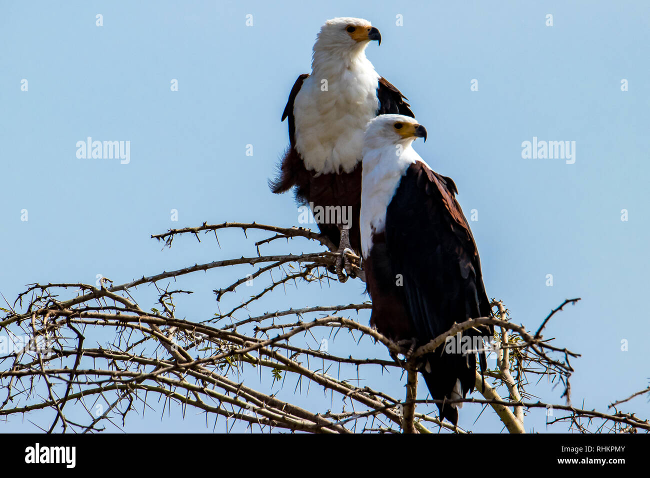 Two African Fish Eagles - Stock Image